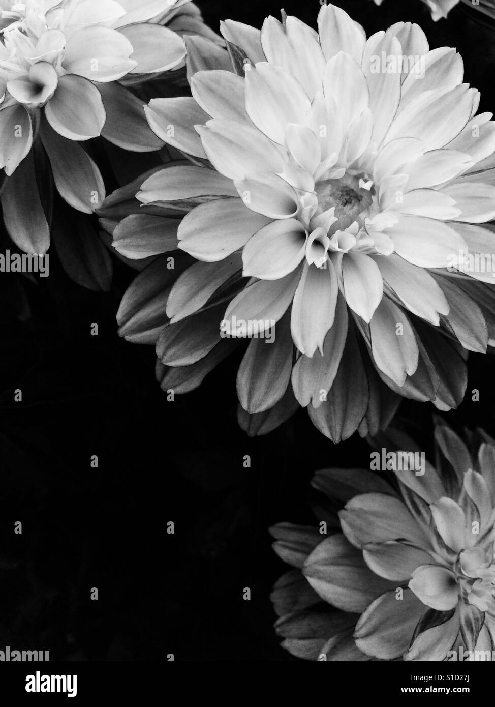 Dahlia flower black and white stock photos images alamy dahlia flower stock image izmirmasajfo
