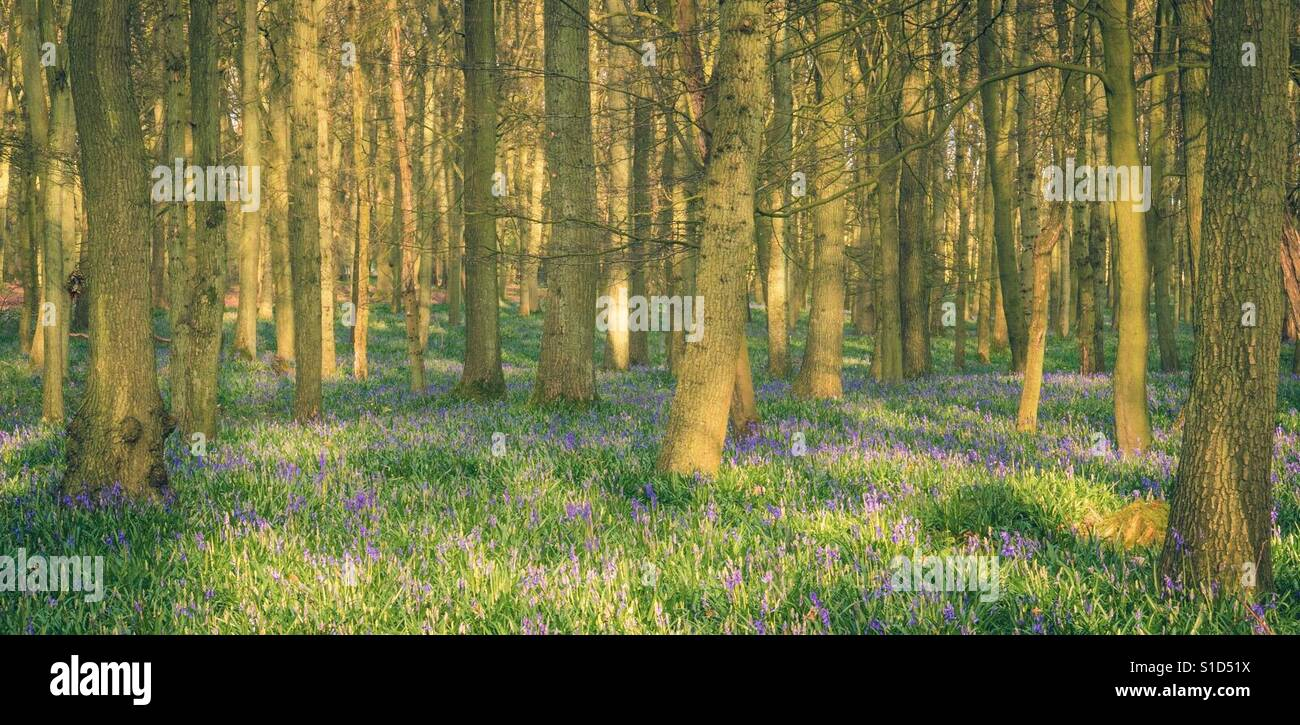 Bluebells of Dockey Wood - Stock Image