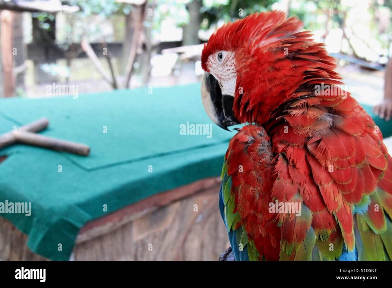 Parrots Also Known As Psittacines ˈsɪtəsaɪnz 2 3 Are