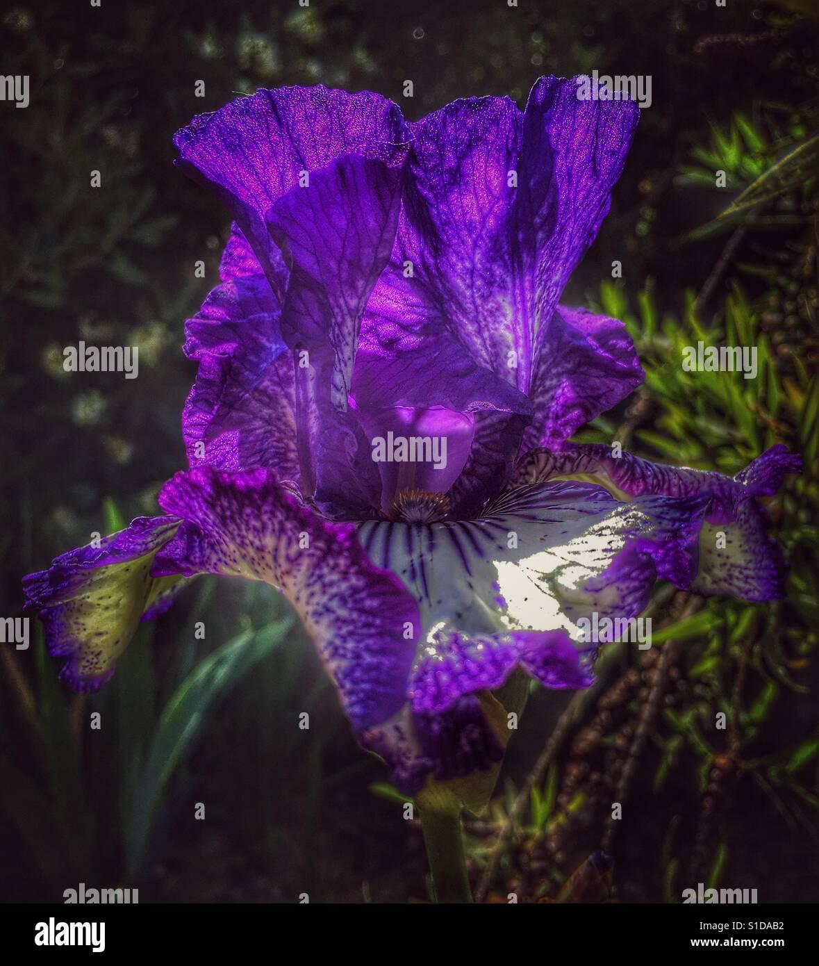 Tall Bearded Iris Purple And White Flower Stock Photo 310694806