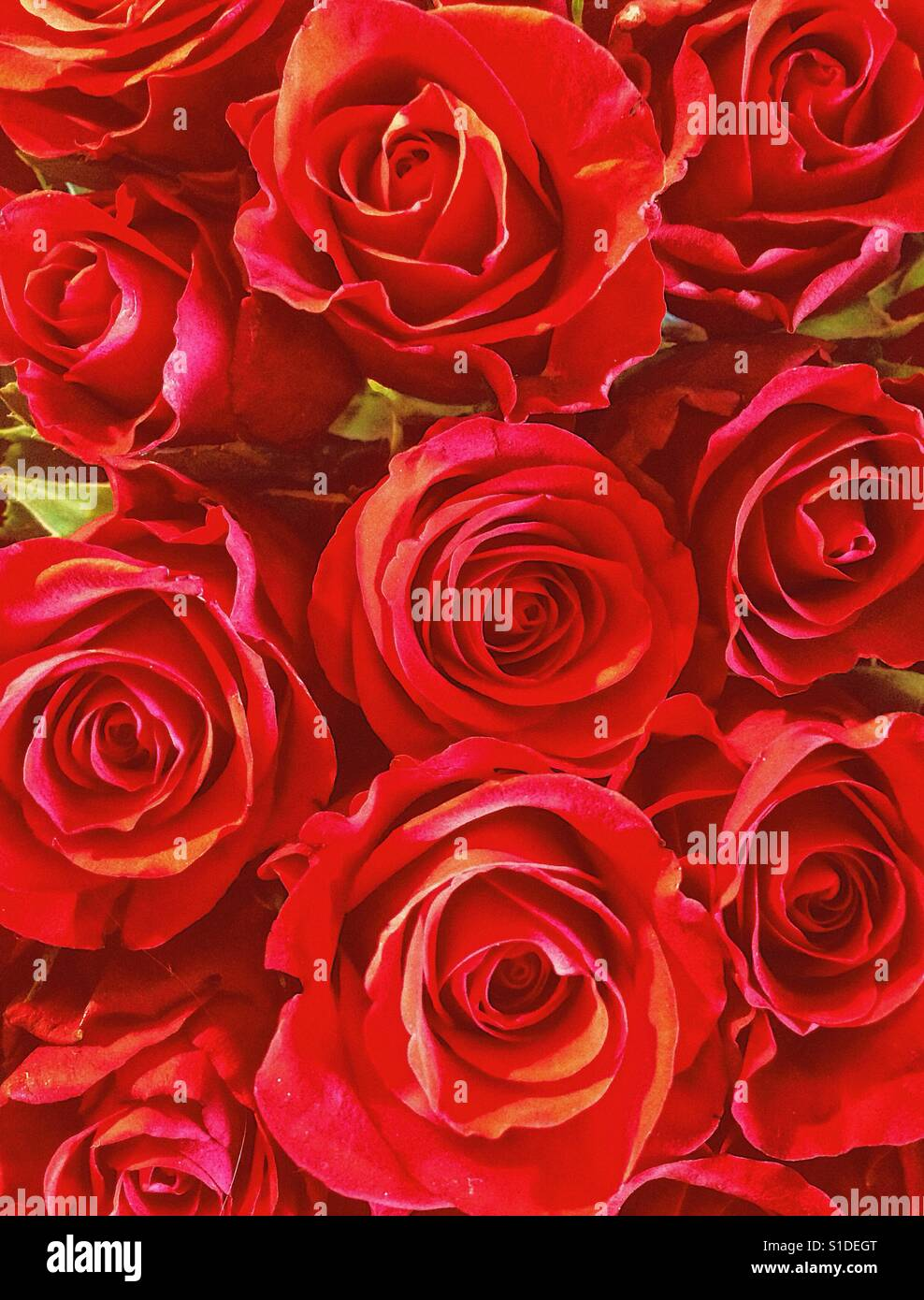 Red roses - Stock Image