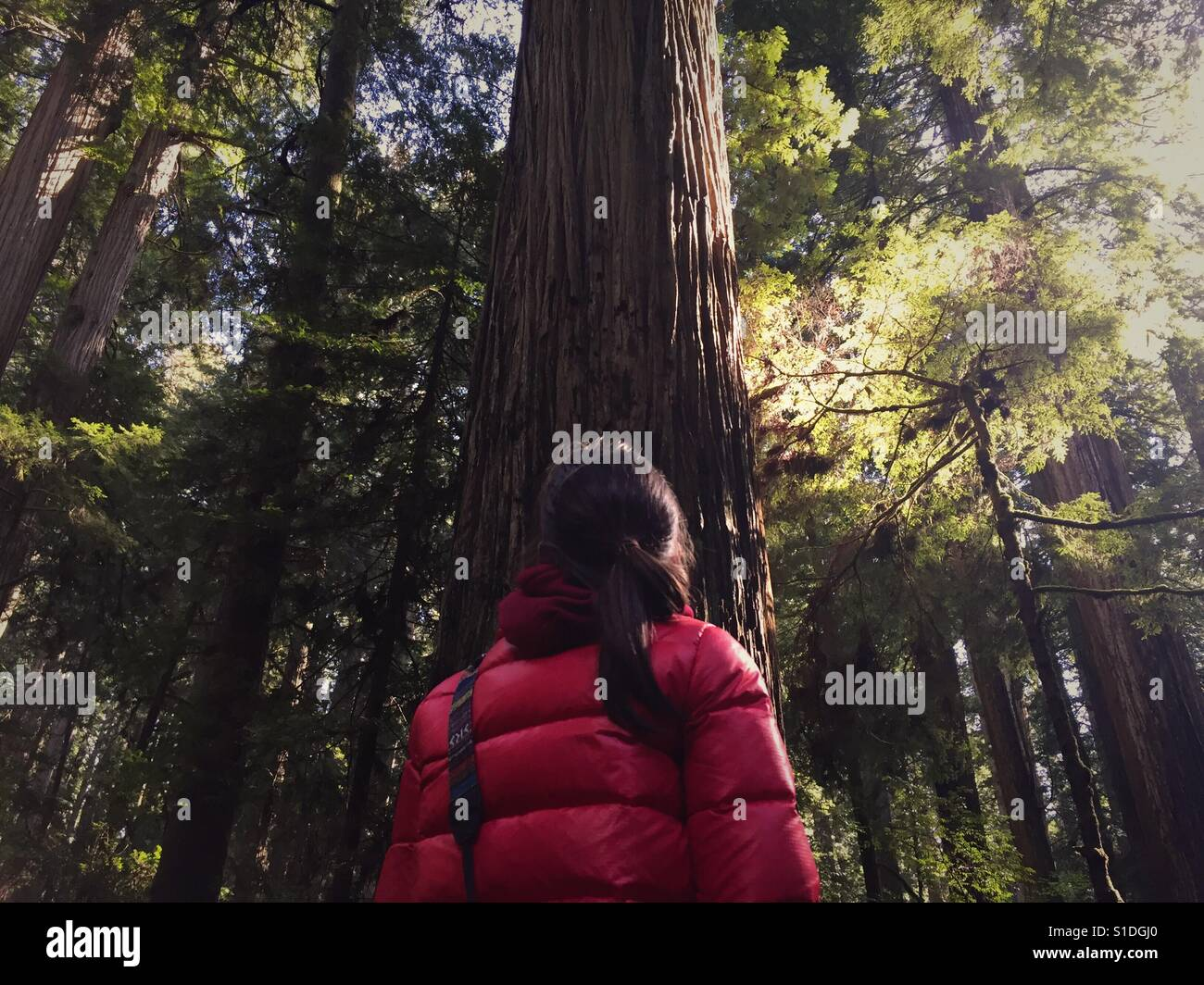 A teen girl wearing a red coat looks up at the base of a redwood tree in Jedediah state park in Northern California. - Stock Image