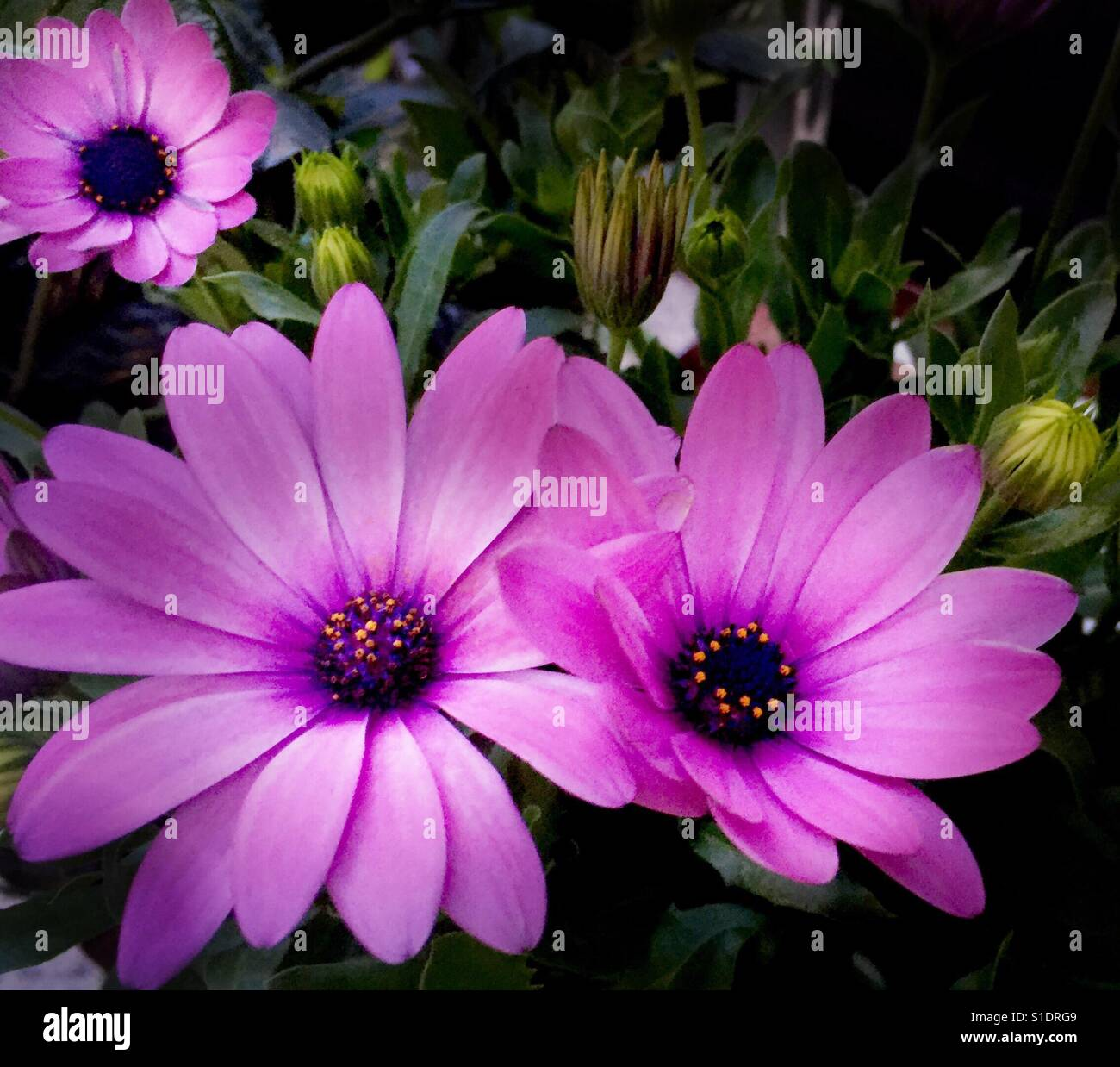 Osteo Akila Purple 'smaller' African Daisy (not really Daisys) natural greenery and yes it looks hot pink - Stock Image