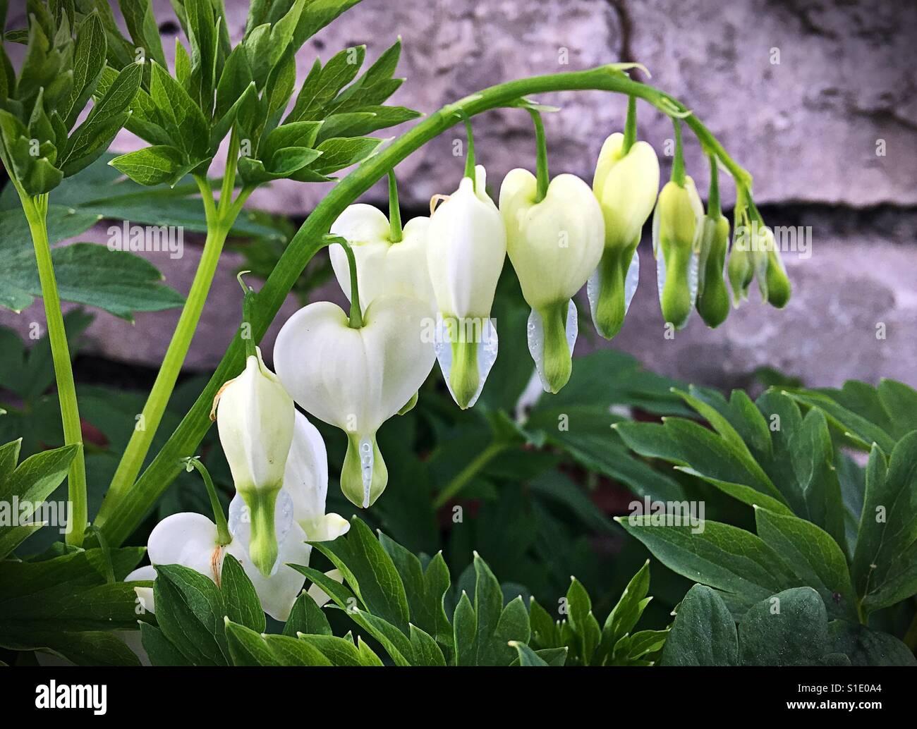 White Bleeding Heart Flowers Stock Photos White Bleeding Heart