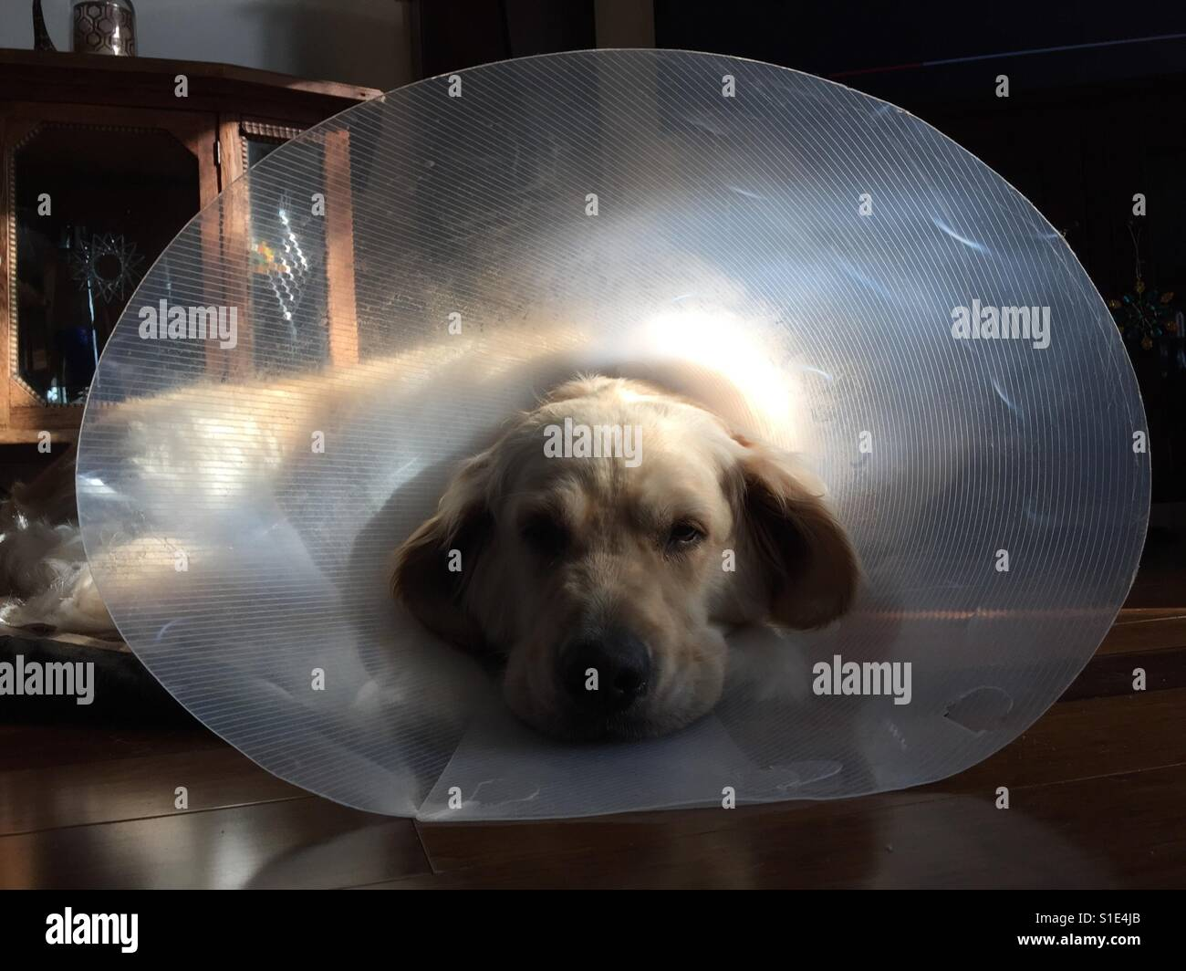 dog in cone of shame stock photo 310712259 alamy