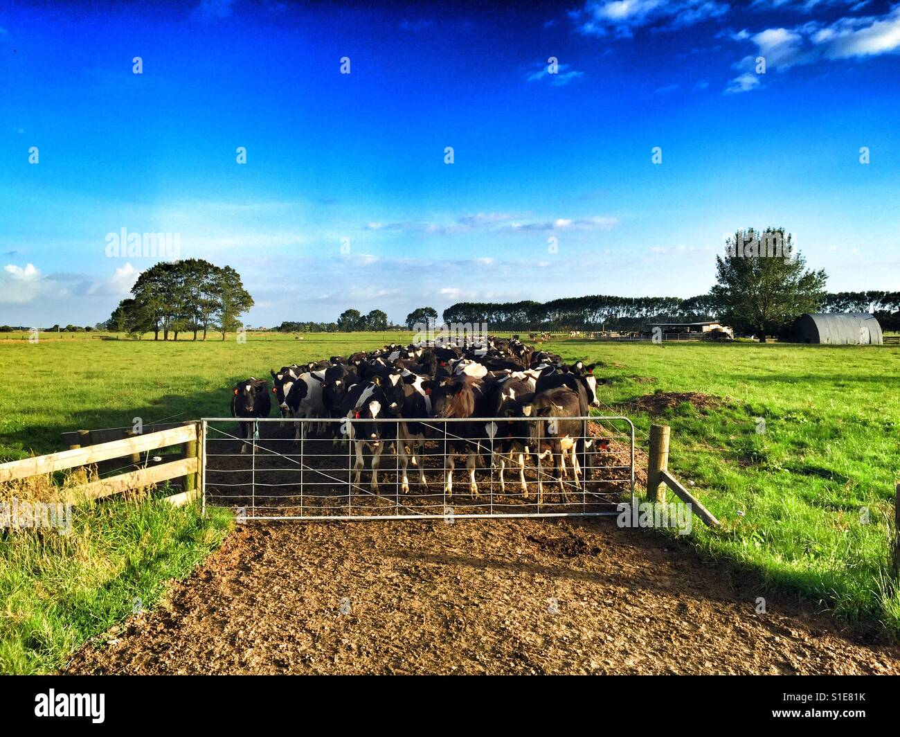 Cows Waiting at the Gate - Stock Image