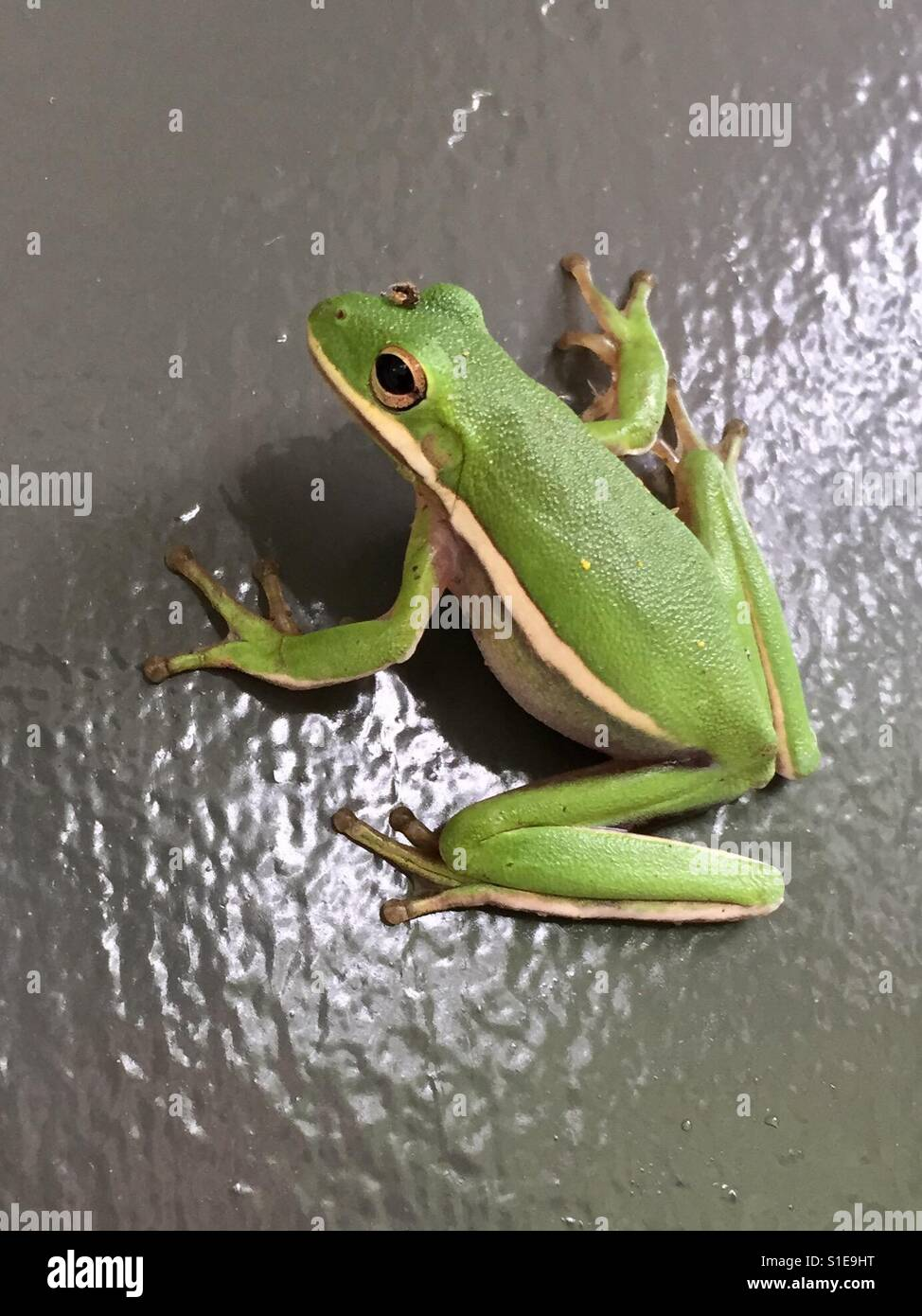 Green frog on a door. - Stock Image