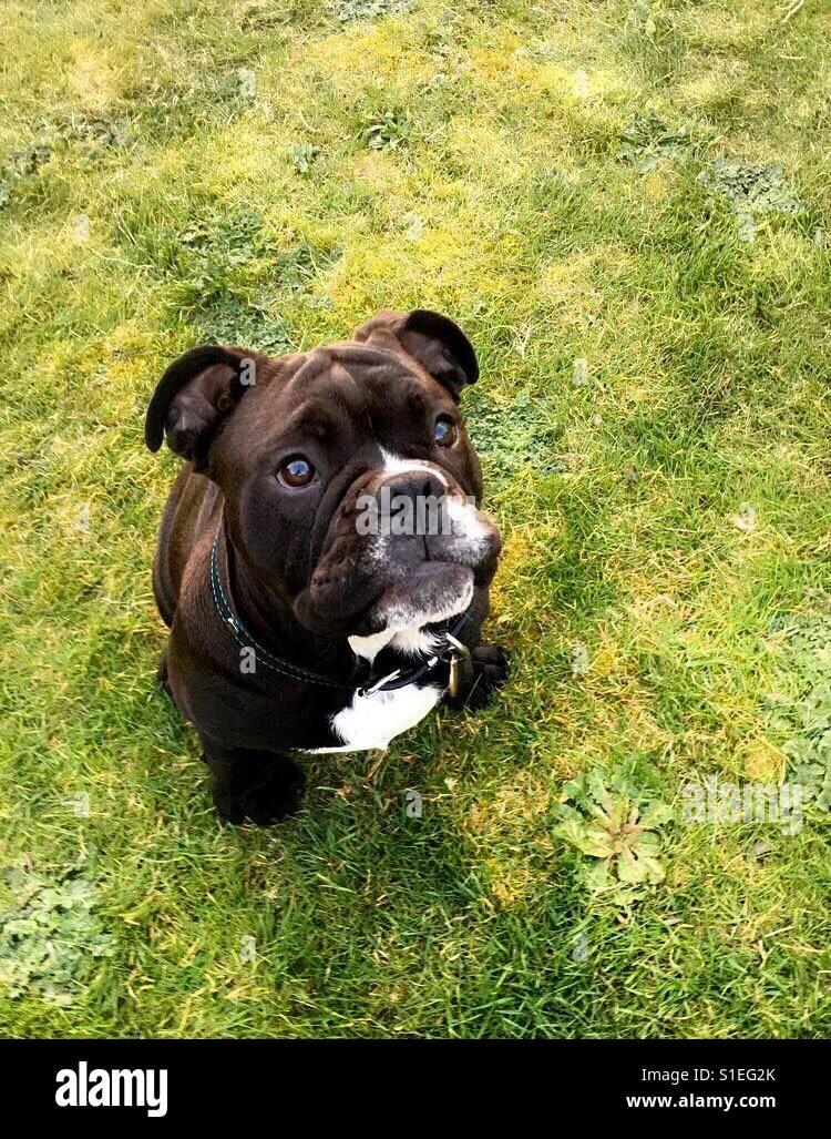 englischer bulldog