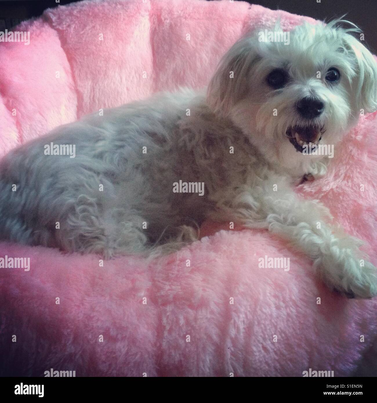 Fluffy dog lounging on pretty pink chair - Stock Image