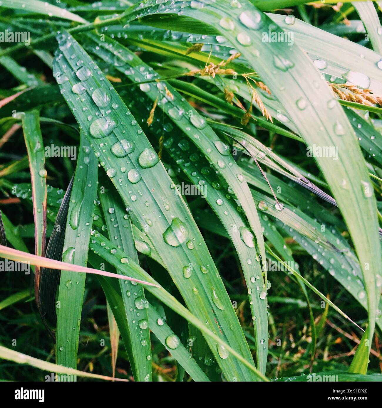 A Close up of water droplets on blades of grass. - Stock Image