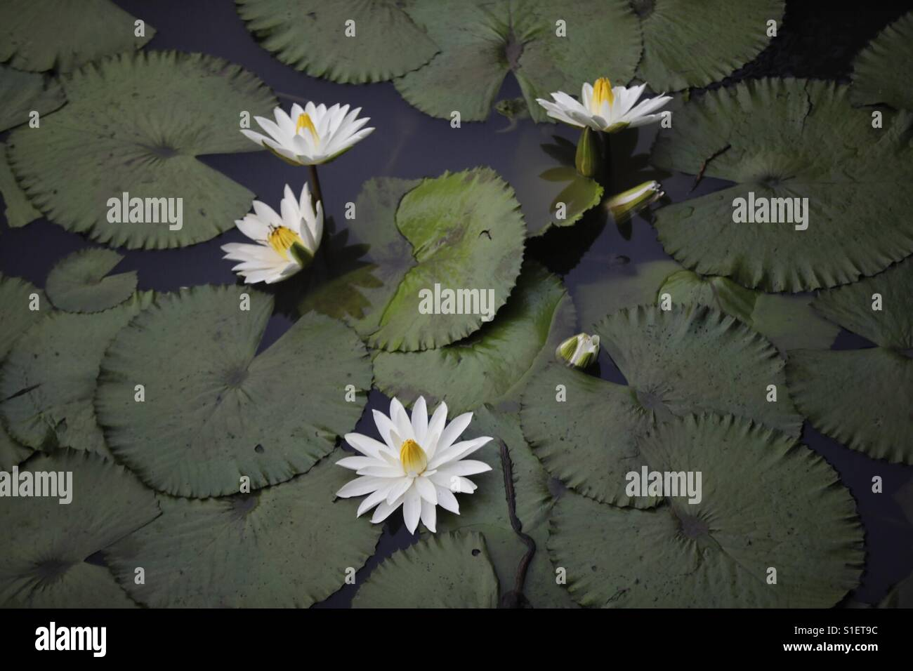 Lotus flower buy stock photos lotus flower buy stock images alamy rare white lotus blooming in a pond stock image mightylinksfo