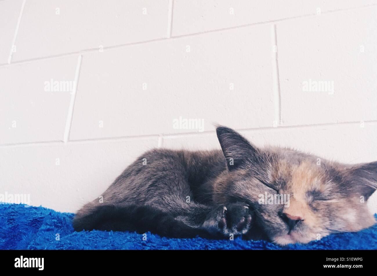 Sleeping munchkin cat - Stock Image
