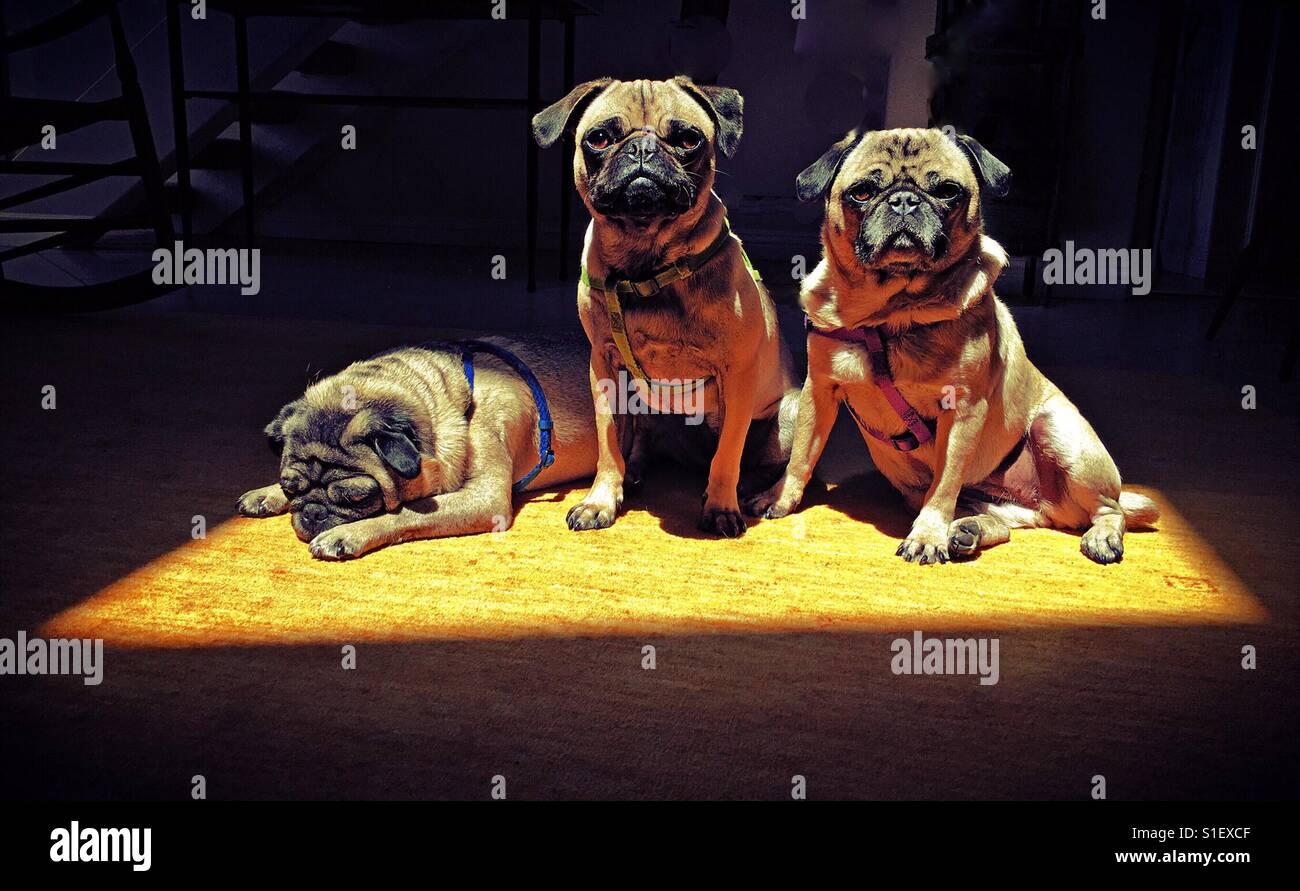 Tres Pugs - Stock Image