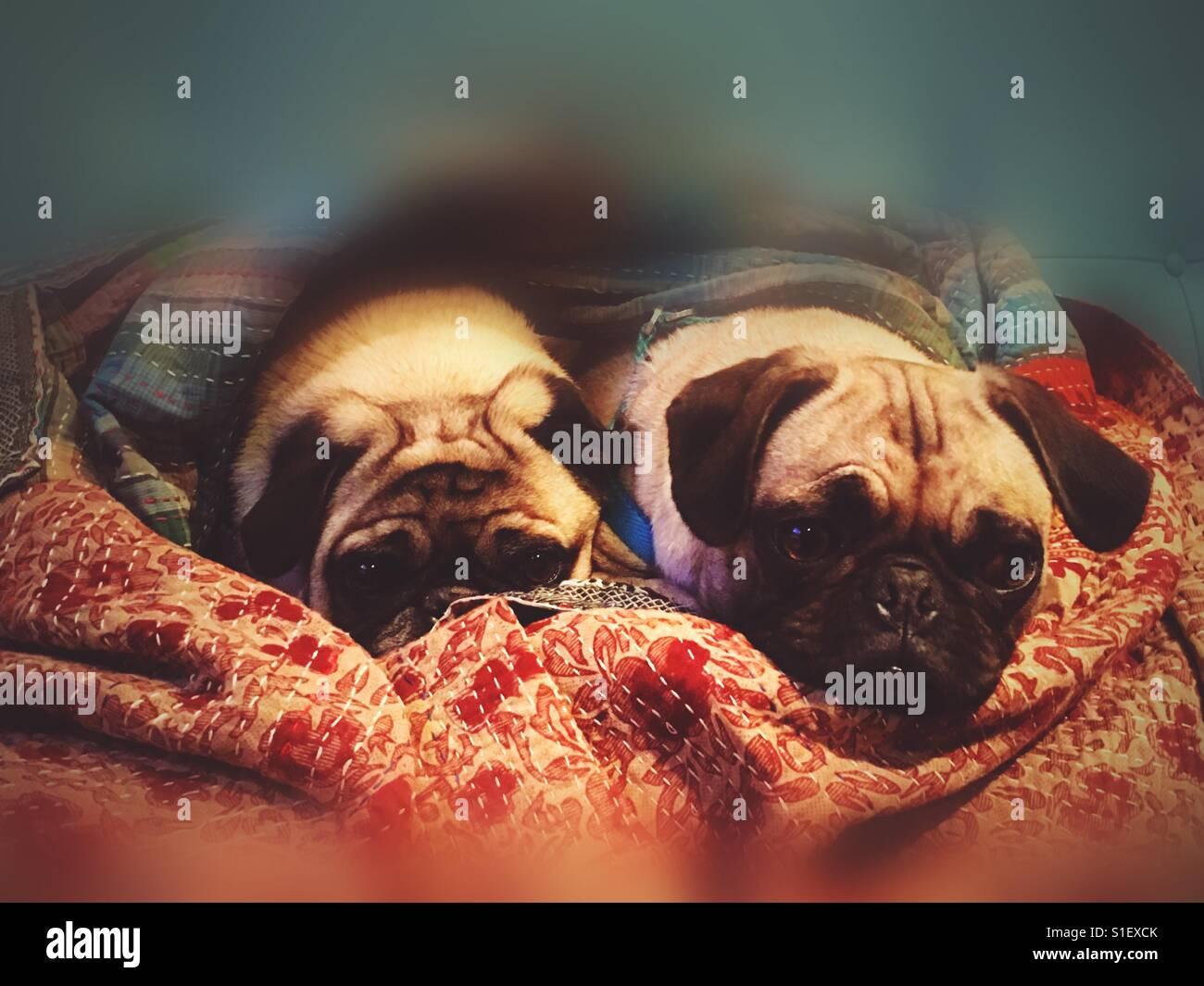 Dos Pugs - Stock Image