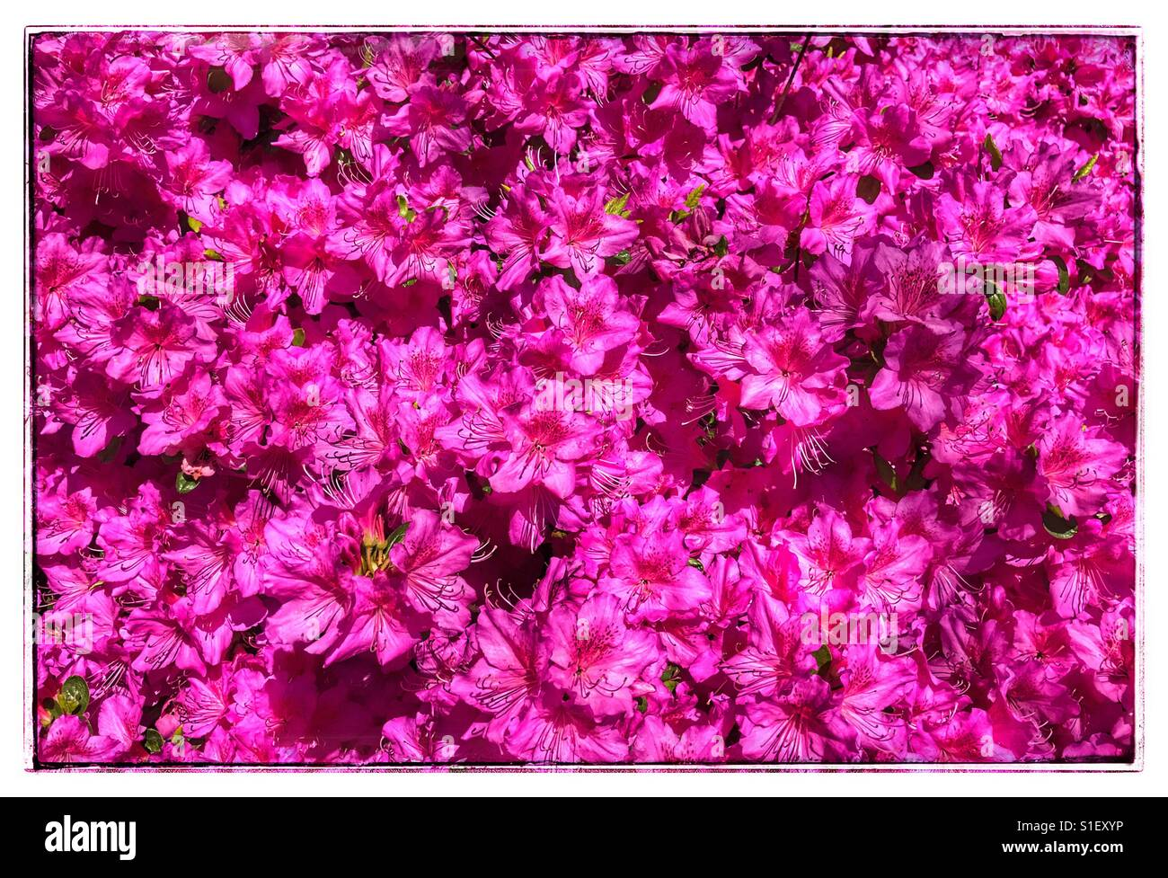 Hot pink flowers stock photos hot pink flowers stock images alamy hot pink flowers stock image mightylinksfo