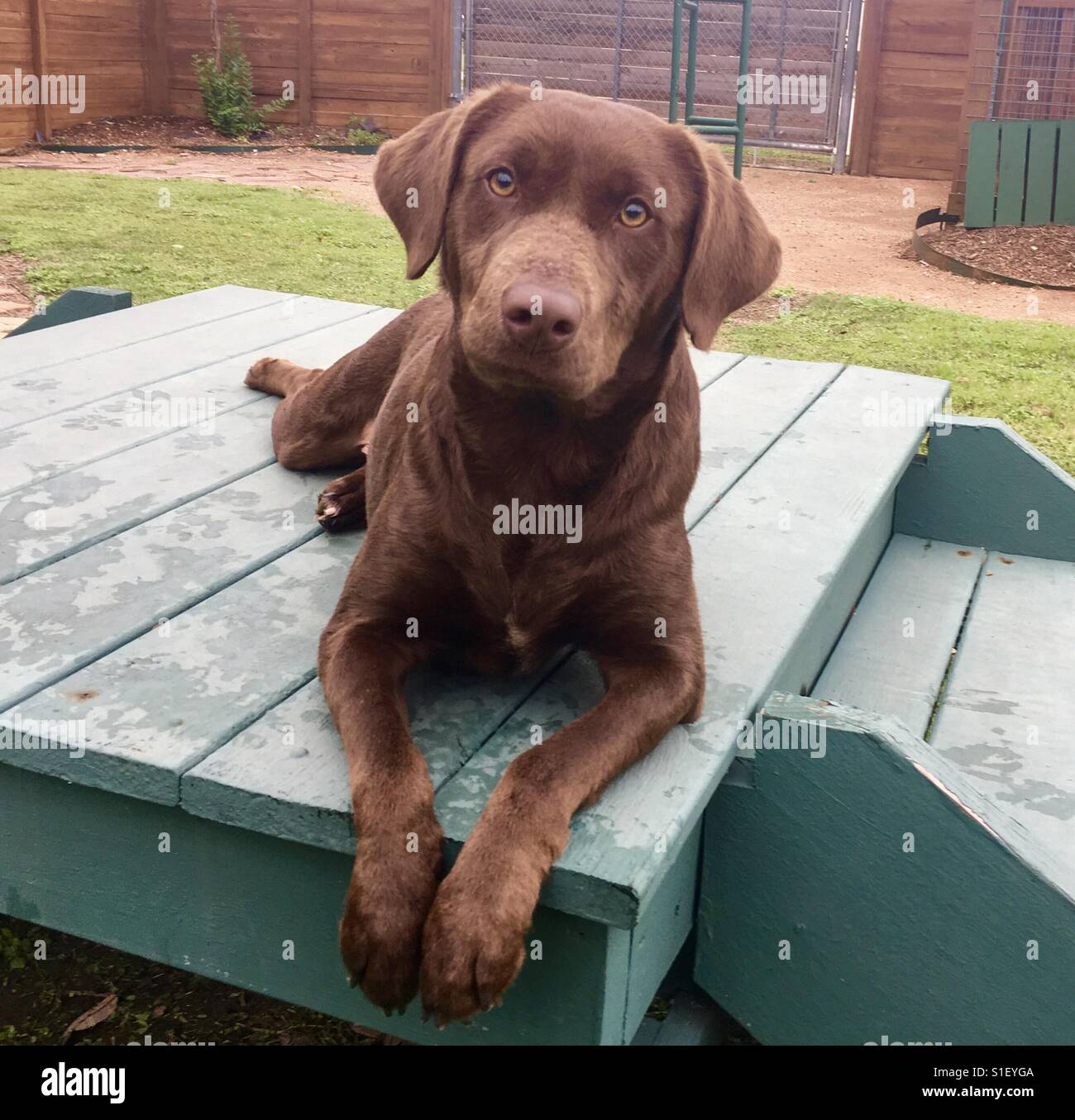 Brown Labrador Dog High Resolution Stock Photography And Images Alamy
