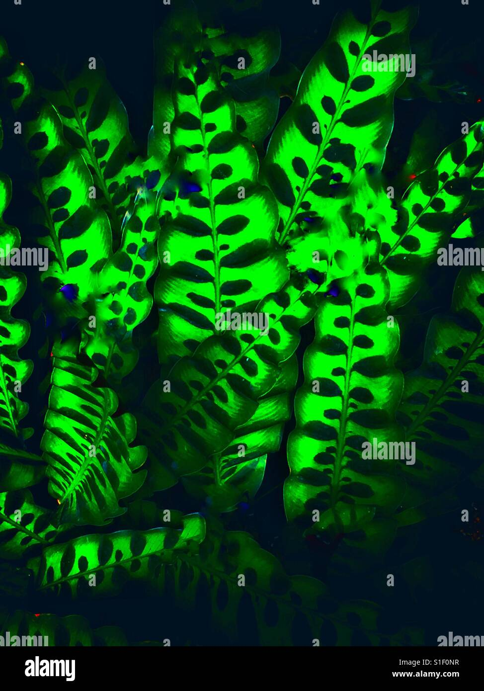 Calathea Makayano, peacock plant cathedral windows lit from within in the darkness - Stock Image