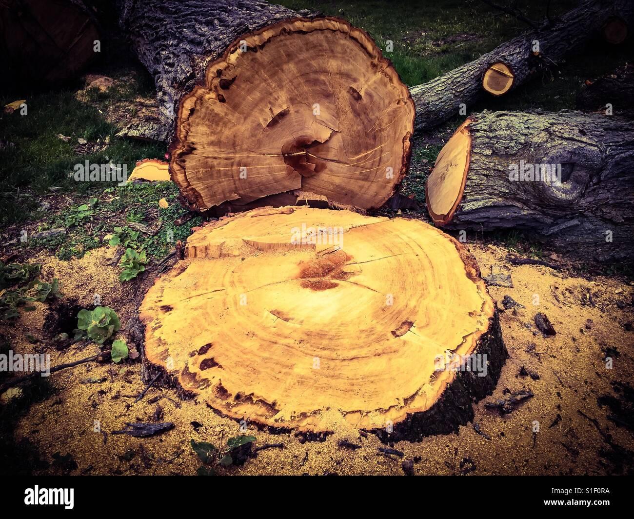 Big tree cut down - Stock Image