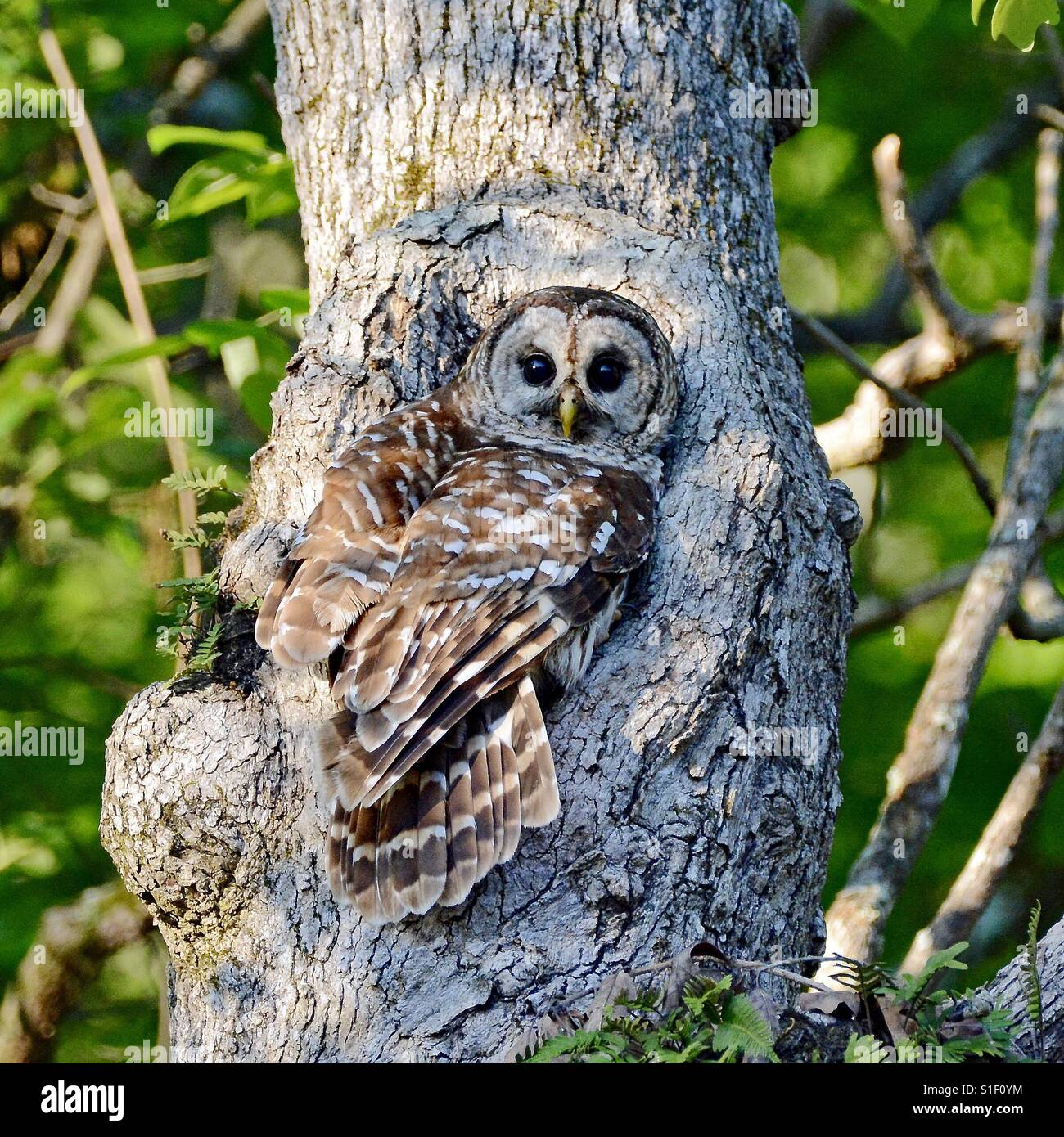 A Barred owl perched over its nesting hole in a white oak tree in North Alabama - Stock Image