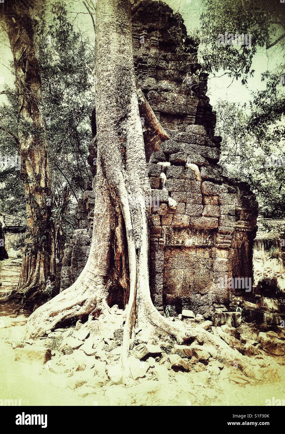 Exposed tree roots growing over ruined temple at Angkor wat Cambodia - Stock Image