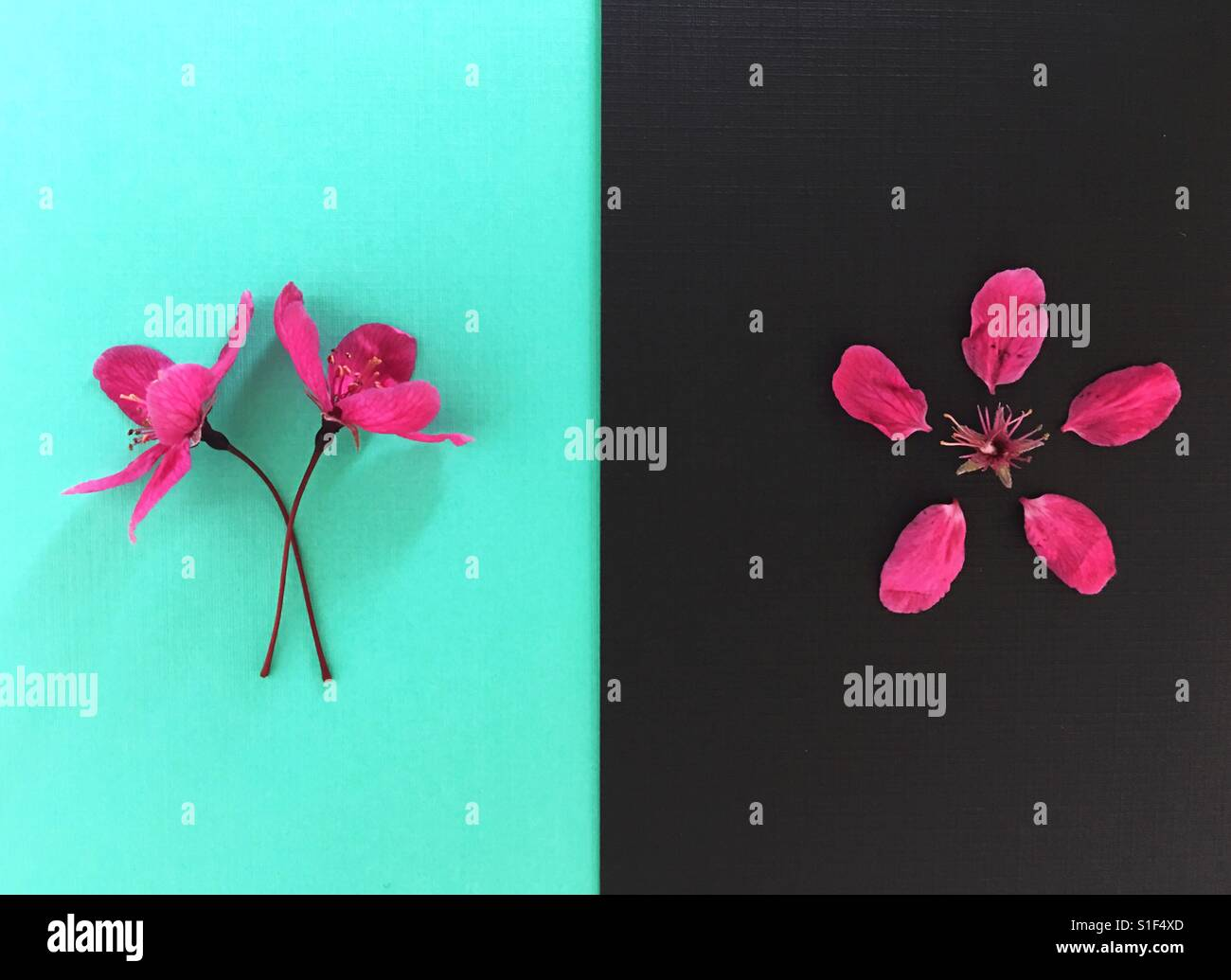 A pair of crabapple blossoms and one deconstructed blossom. - Stock Image