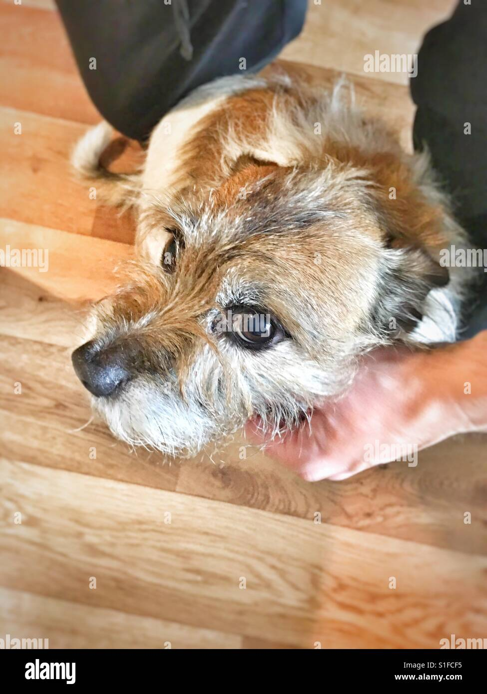 Jack Russell getting a fuss - Stock Image