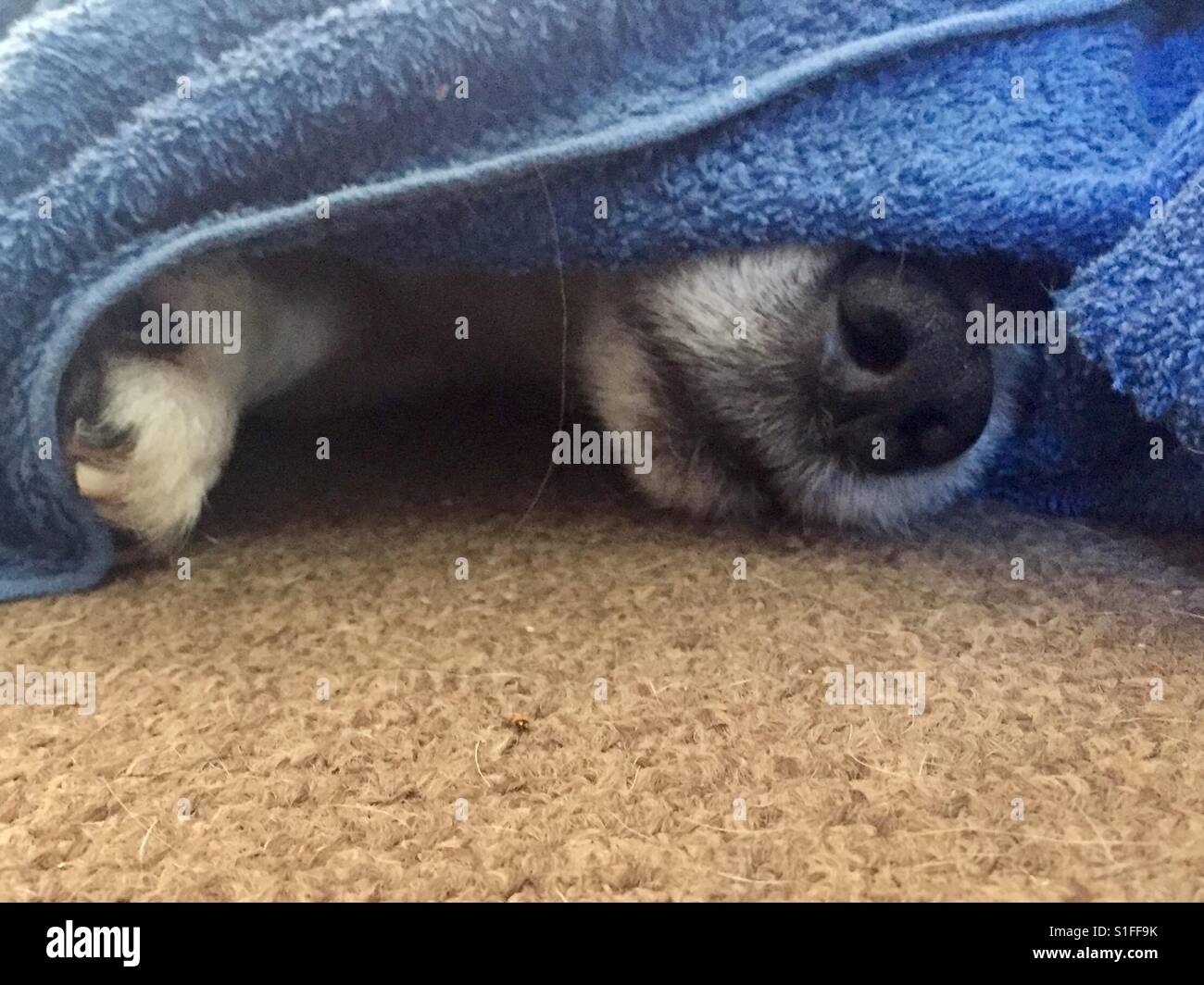 Sleeping Dog's nose peeping out under a blue towel lying on a beige carpet - Stock Image
