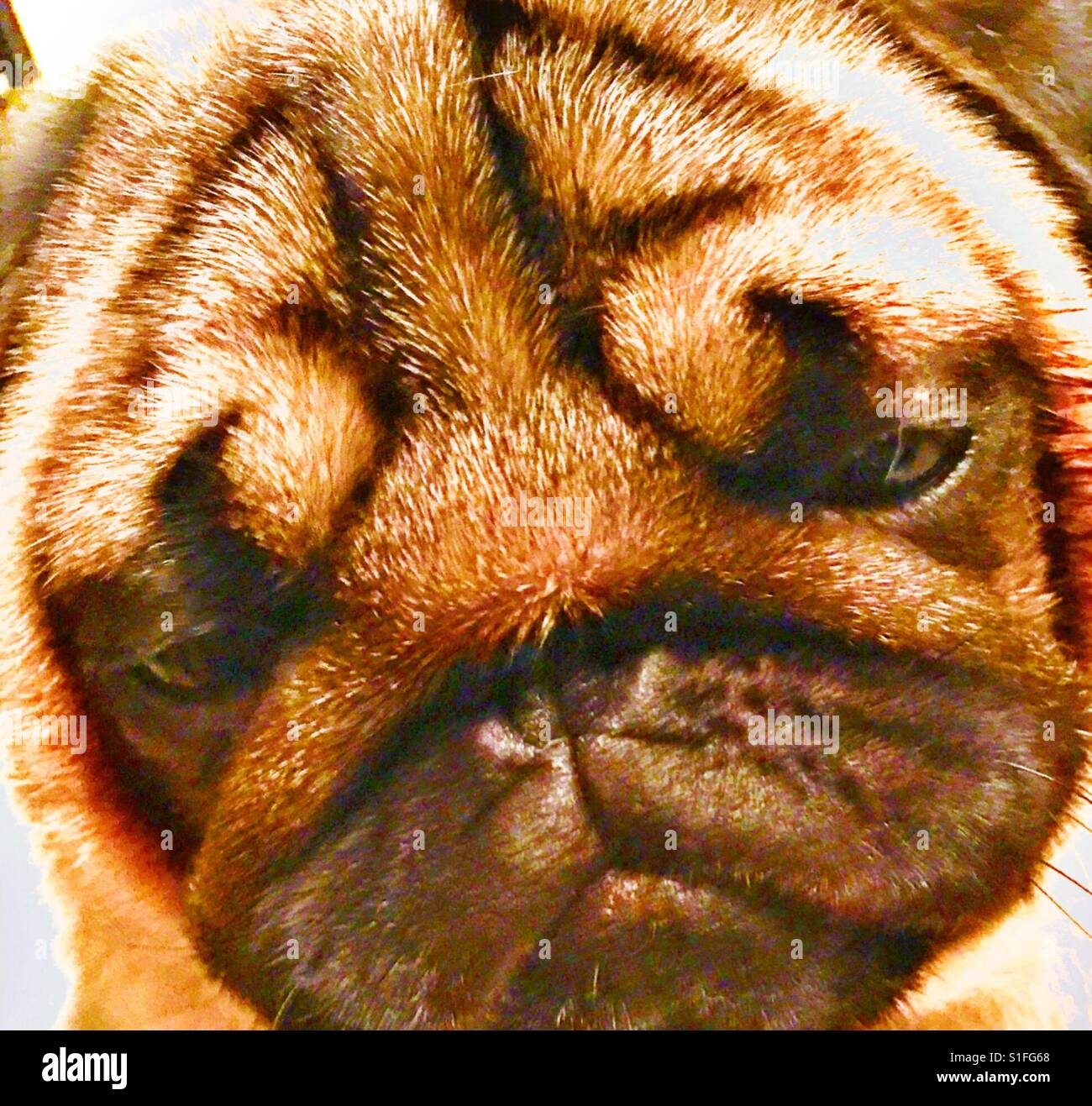 Disappointed Beautiful Fawn Pug Face, Dog scowl, maybe no snack? - Stock Image