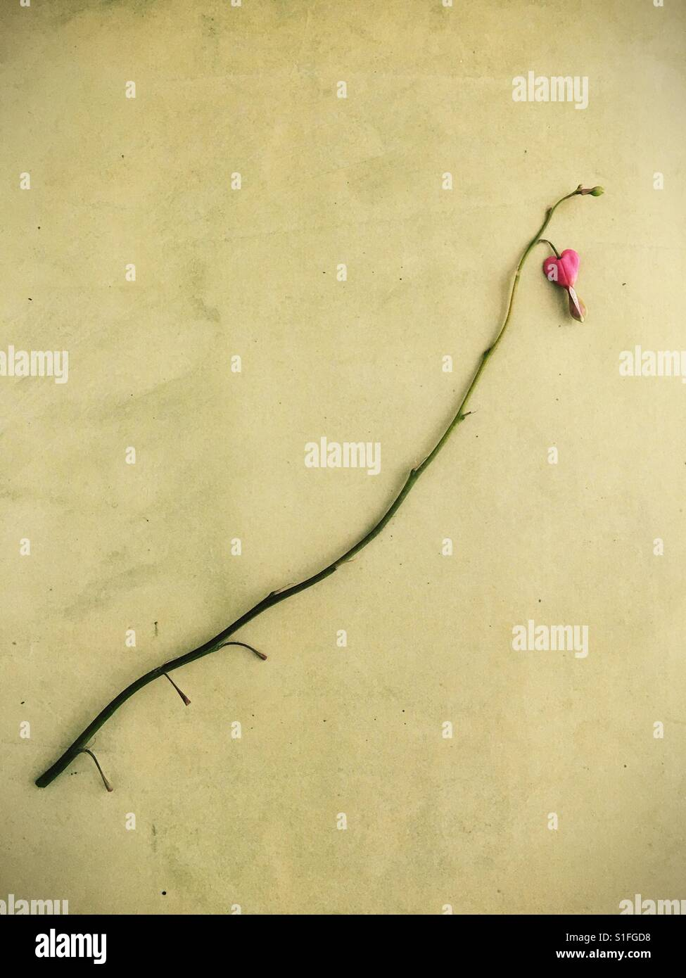 A single bleeding heart flower on a branch. - Stock Image