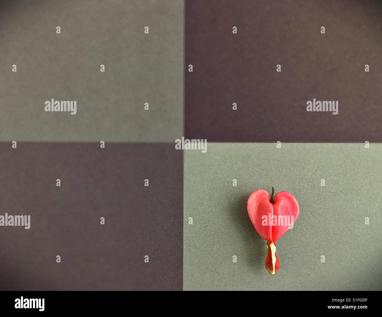 A single bleeding heart flower. - Stock Image