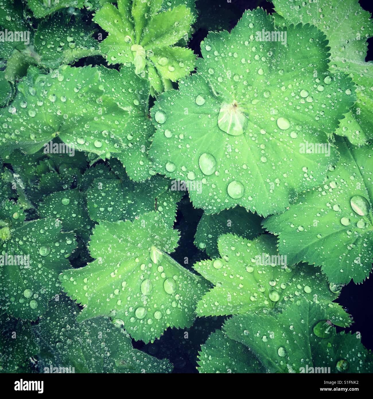 Rain drops on alchemillamollis (lady's-mantle) green leaves - Stock Image
