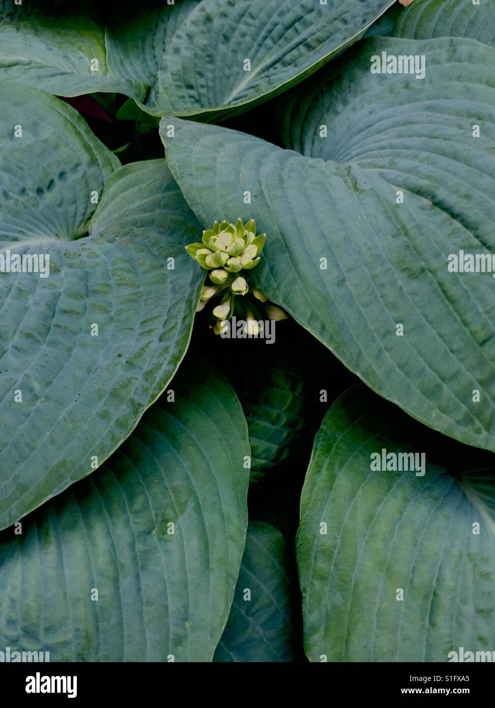 Dark Green Blue Hosta With Small Baby Hosta Flower Herbaceous