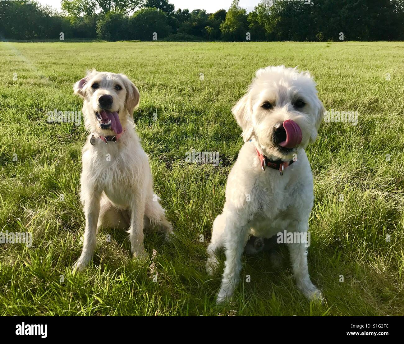 Sullivan and Breezy the adorable labradoodle brother and sister tongues out in the sun - Stock Image