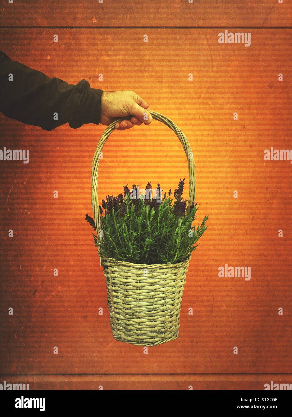 Man's hand holding a basket of lavender flowers - Stock Image