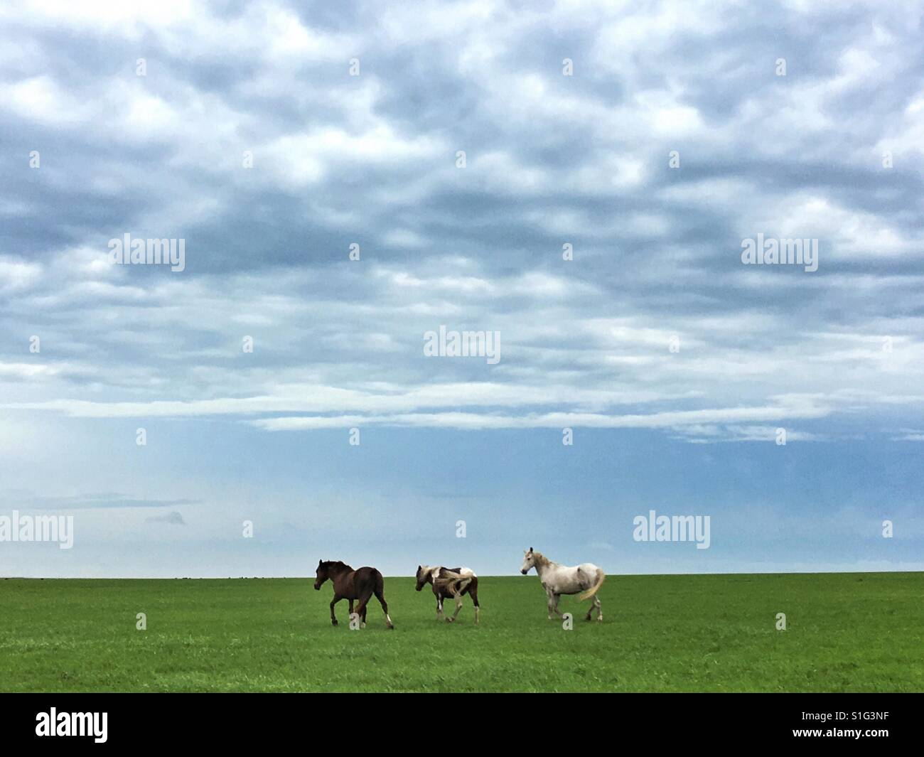 Wild mustangs on the Oklahoma prairie - Stock Image