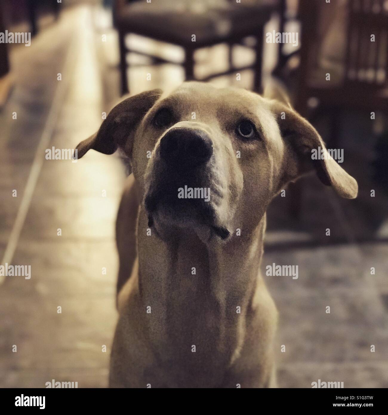 Light brown retriever dog paying attention - Stock Image