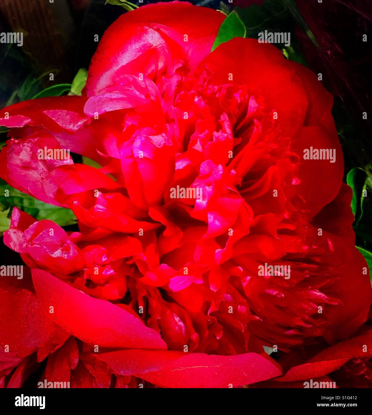 Radiant Ruby Red Peony reminiscent of the Victorian period - Stock Image