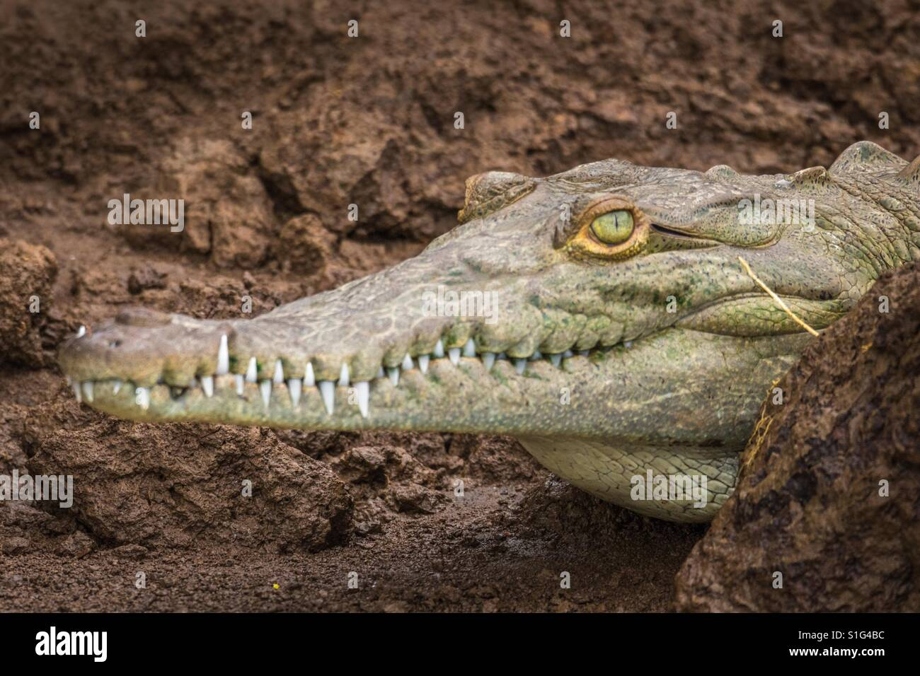 Young crocodile on the banks of the Tárcoles River in Costa Rica Stock Photo