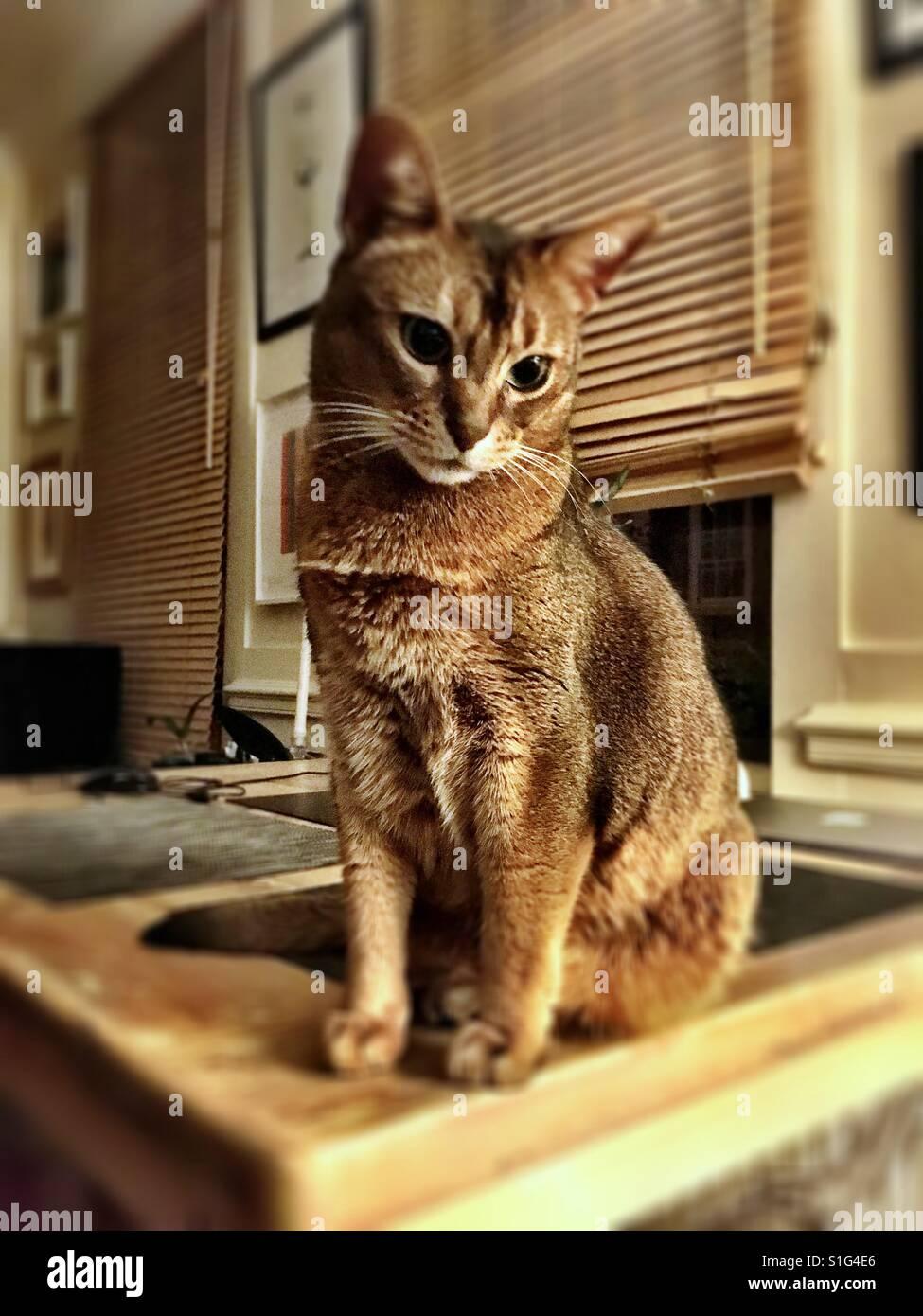 Abyssinian cat in sepia tones Stock Photo