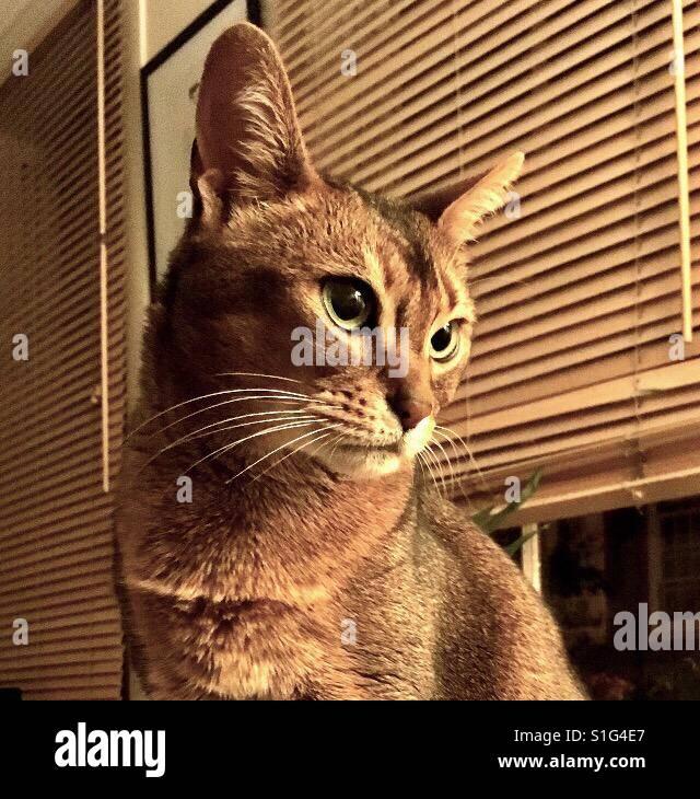 Abyssinian cat in sepia tones - Stock Image