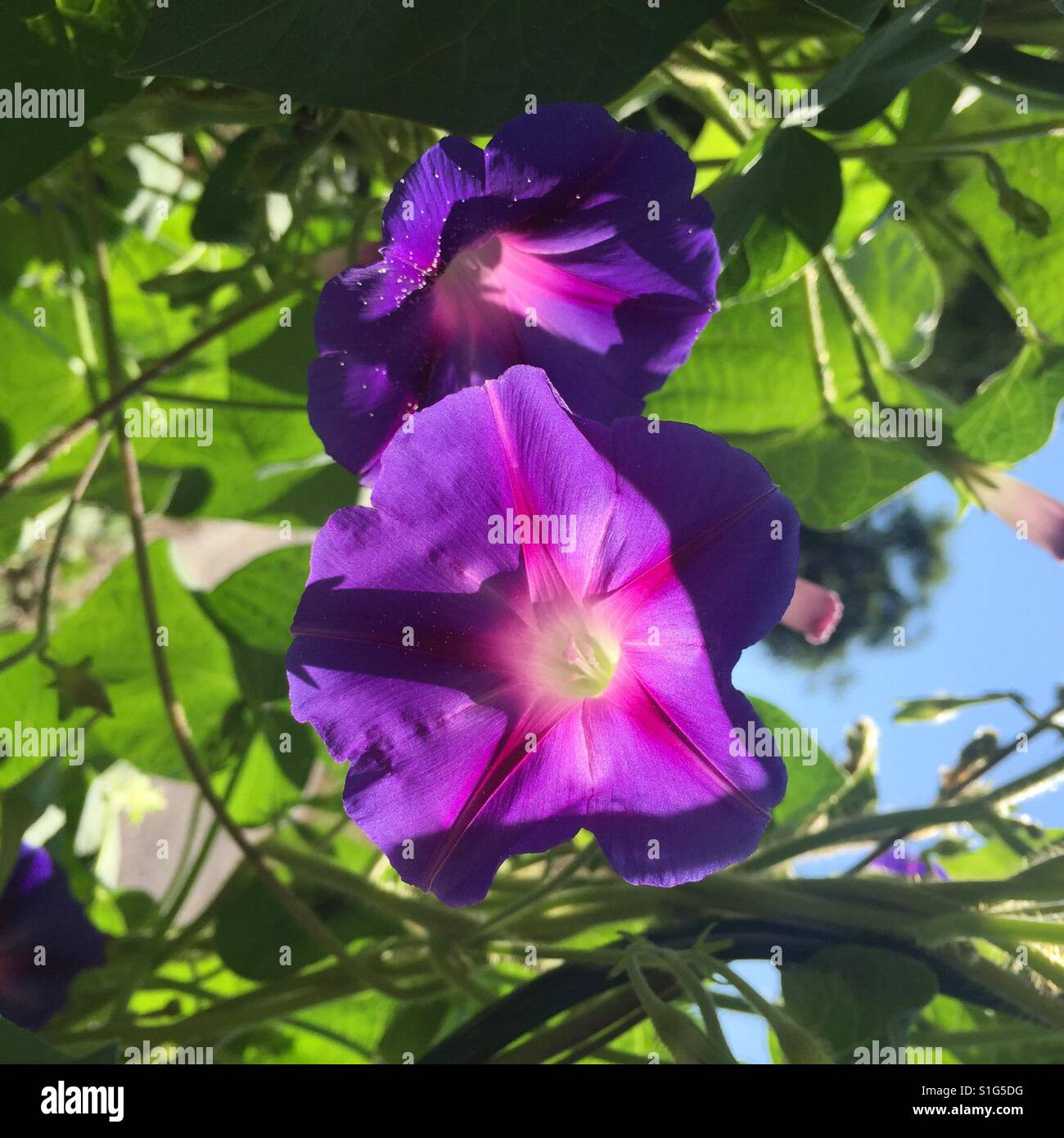 Beautiful morning glories blooming in the sunshine. - Stock Image