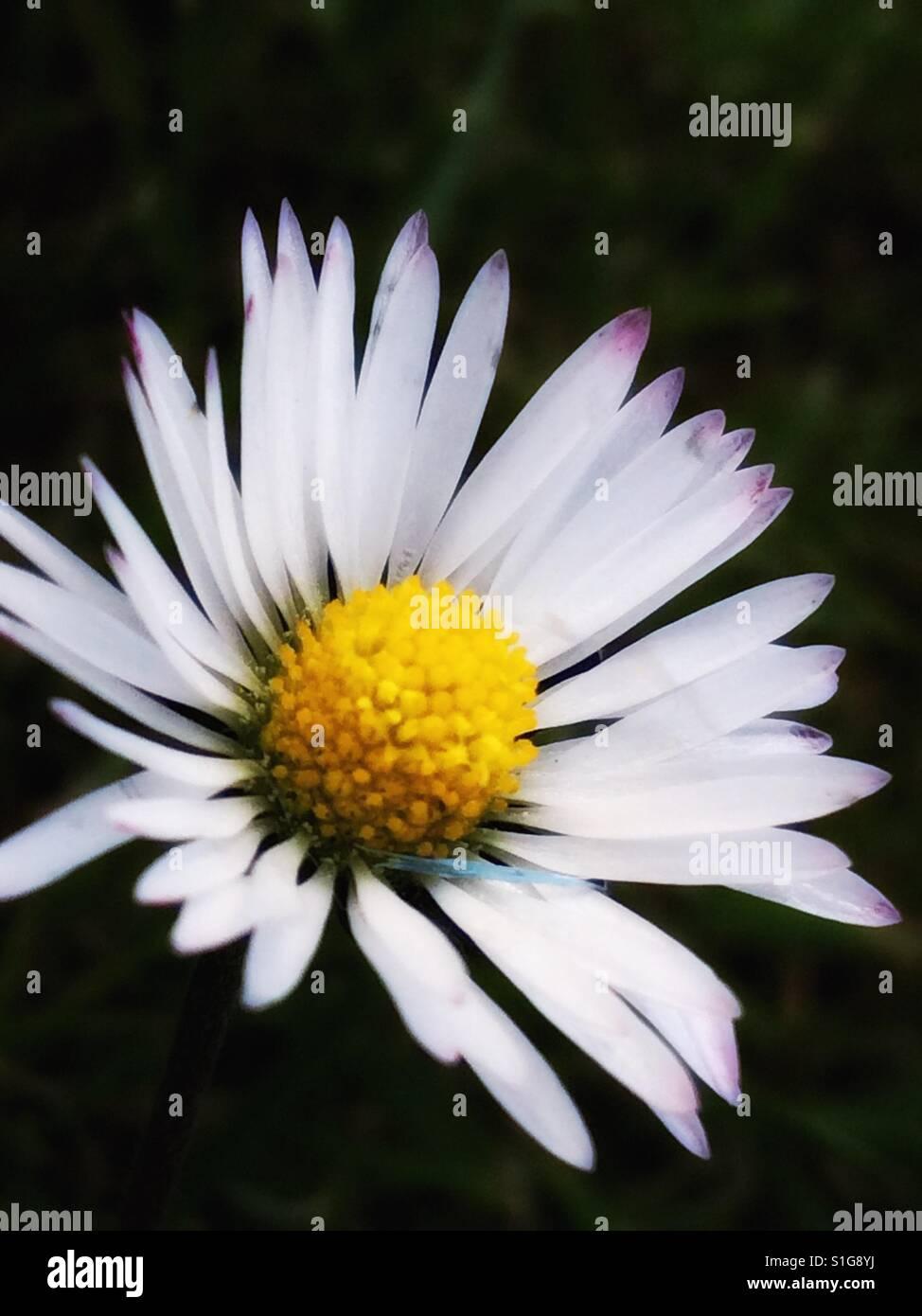 Daisy head stock photos daisy head stock images alamy beautiful daisy flower head stock image izmirmasajfo Choice Image