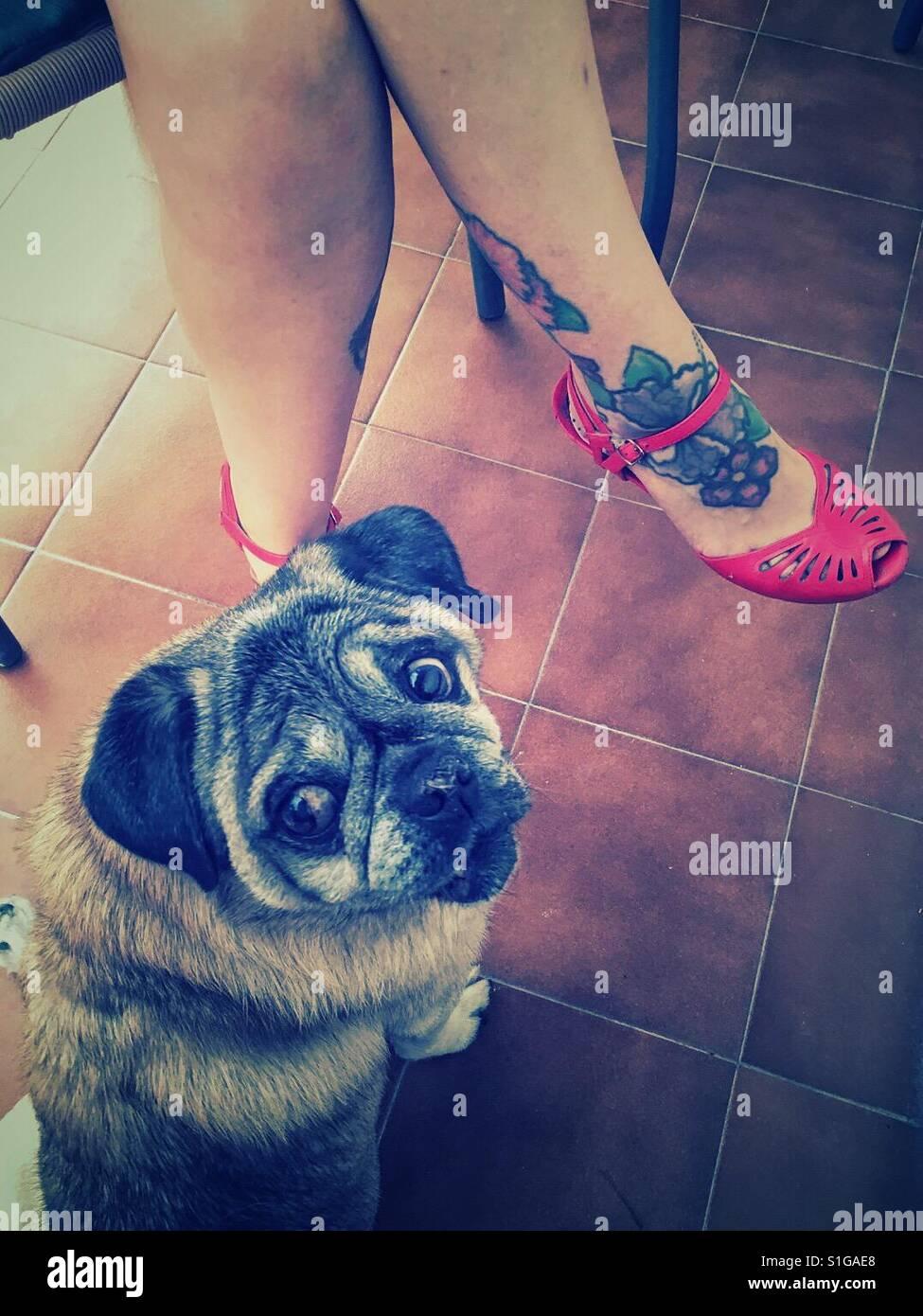 Carlino dog looking to the camera - Stock Image