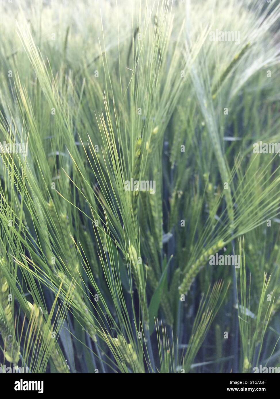 Barley field in Warwickshire English Countryside in May 2017 - Stock Image
