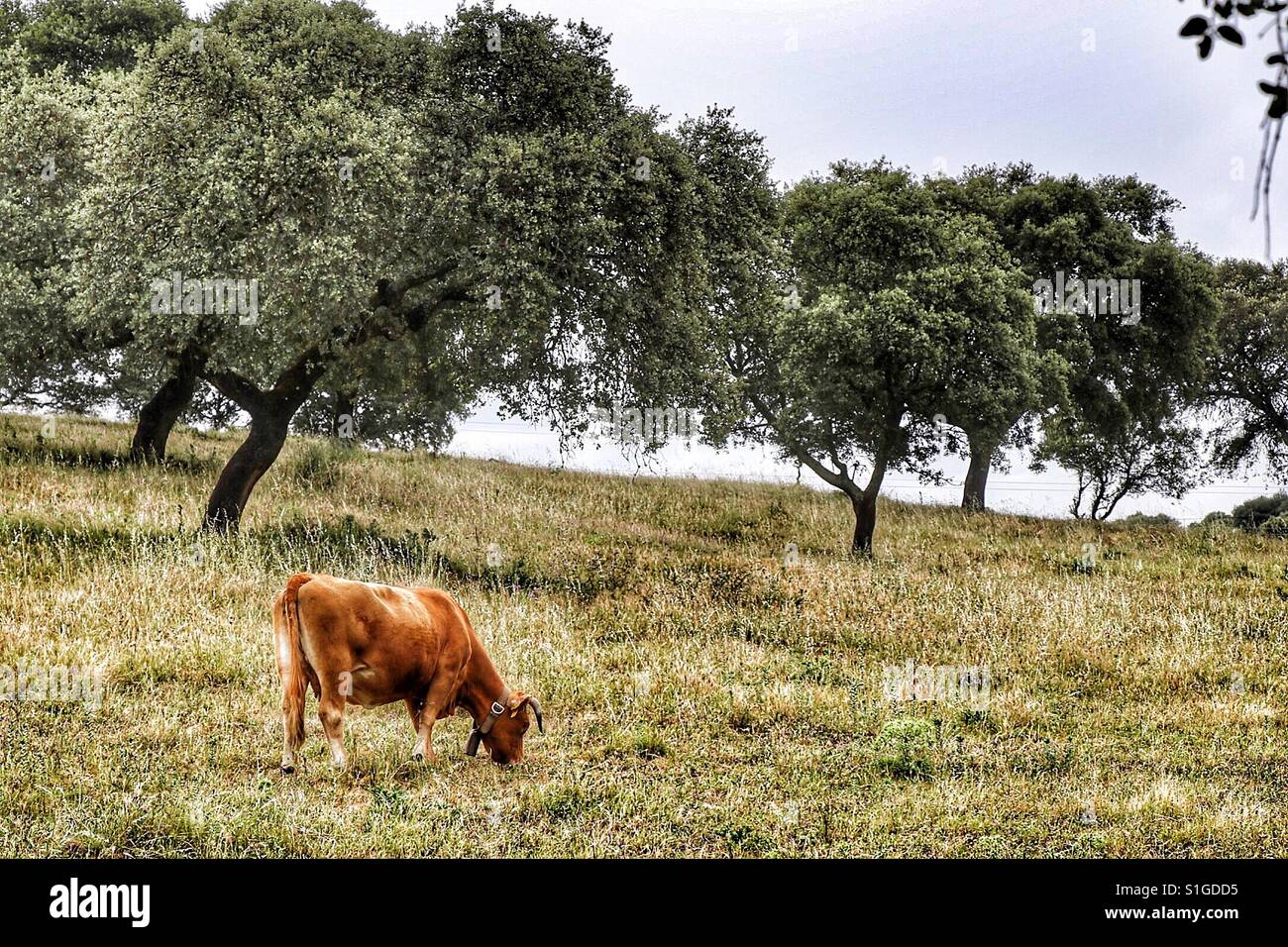 Cow in the pasture with some trees. Alentejo, Portugal. - Stock Image