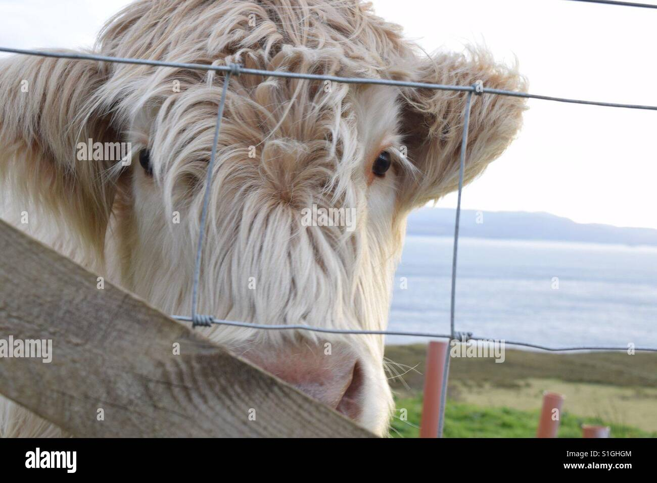 Woolly moo in the Scottish highlands - Stock Image