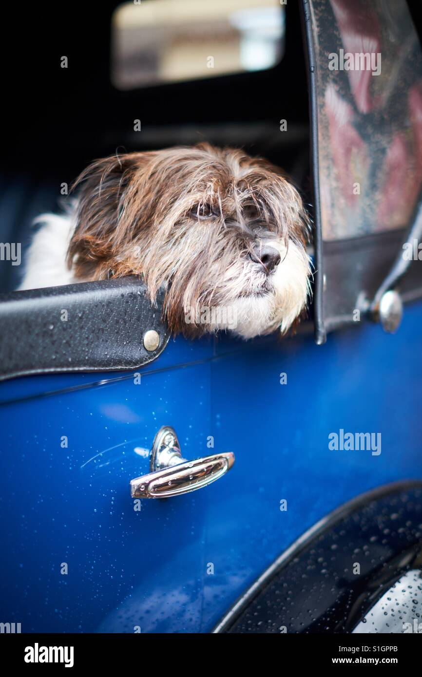 A cute dog rests its head out of the window of a classic blue car. - Stock Image