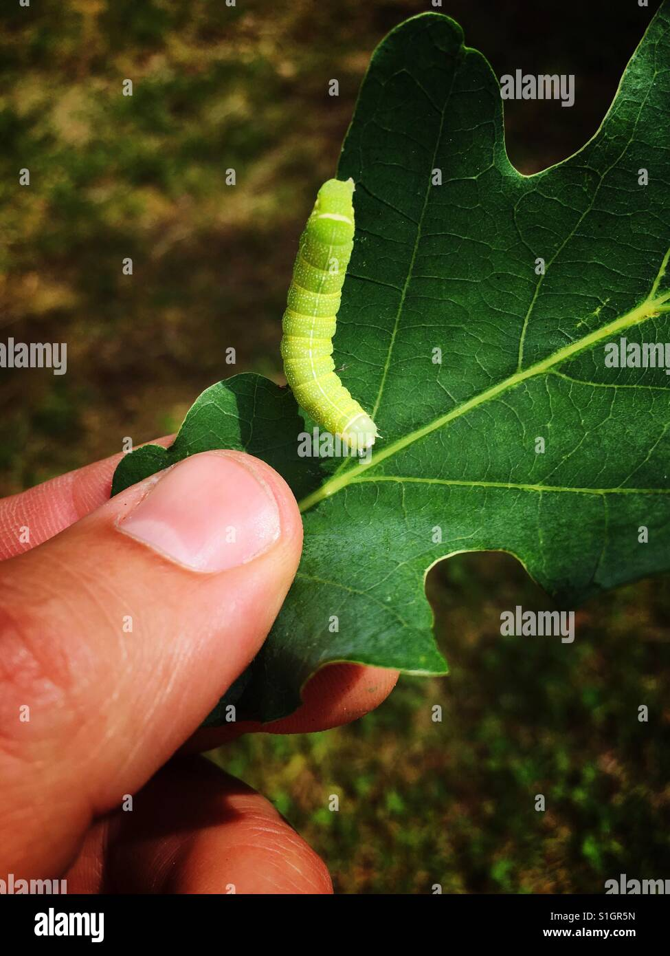 Caterpillar of operophtera brumata on an oak leaf in a man's hand - Stock Image