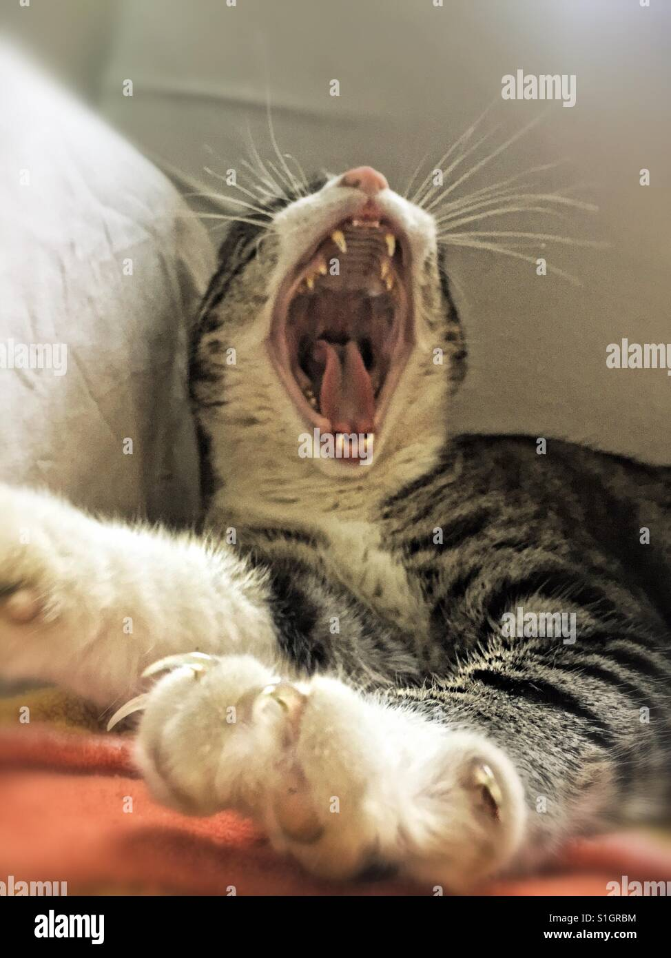 Paw... yawning...cat! - Stock Image