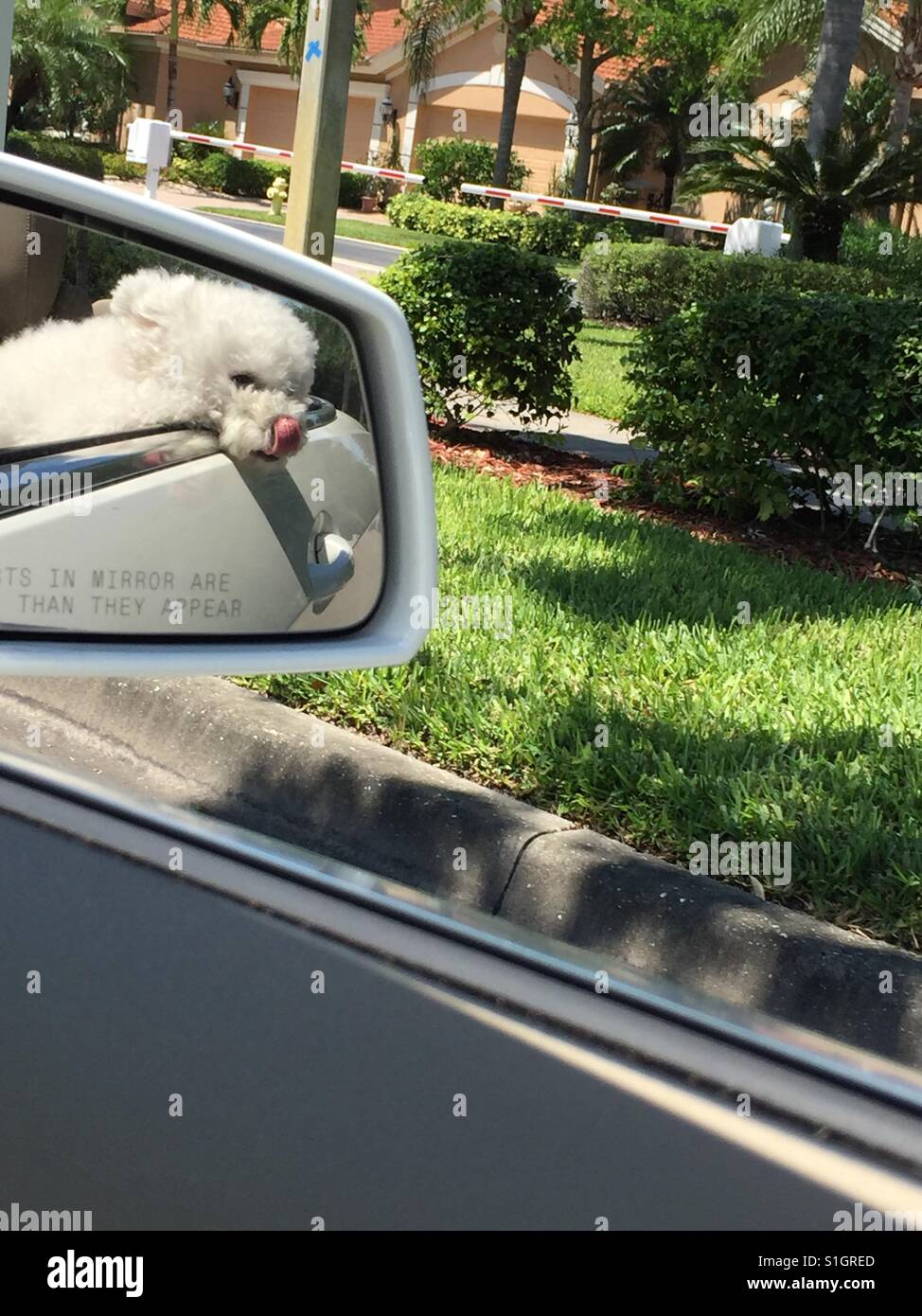 Dog in side car mirror head out window young licking nose - Stock Image